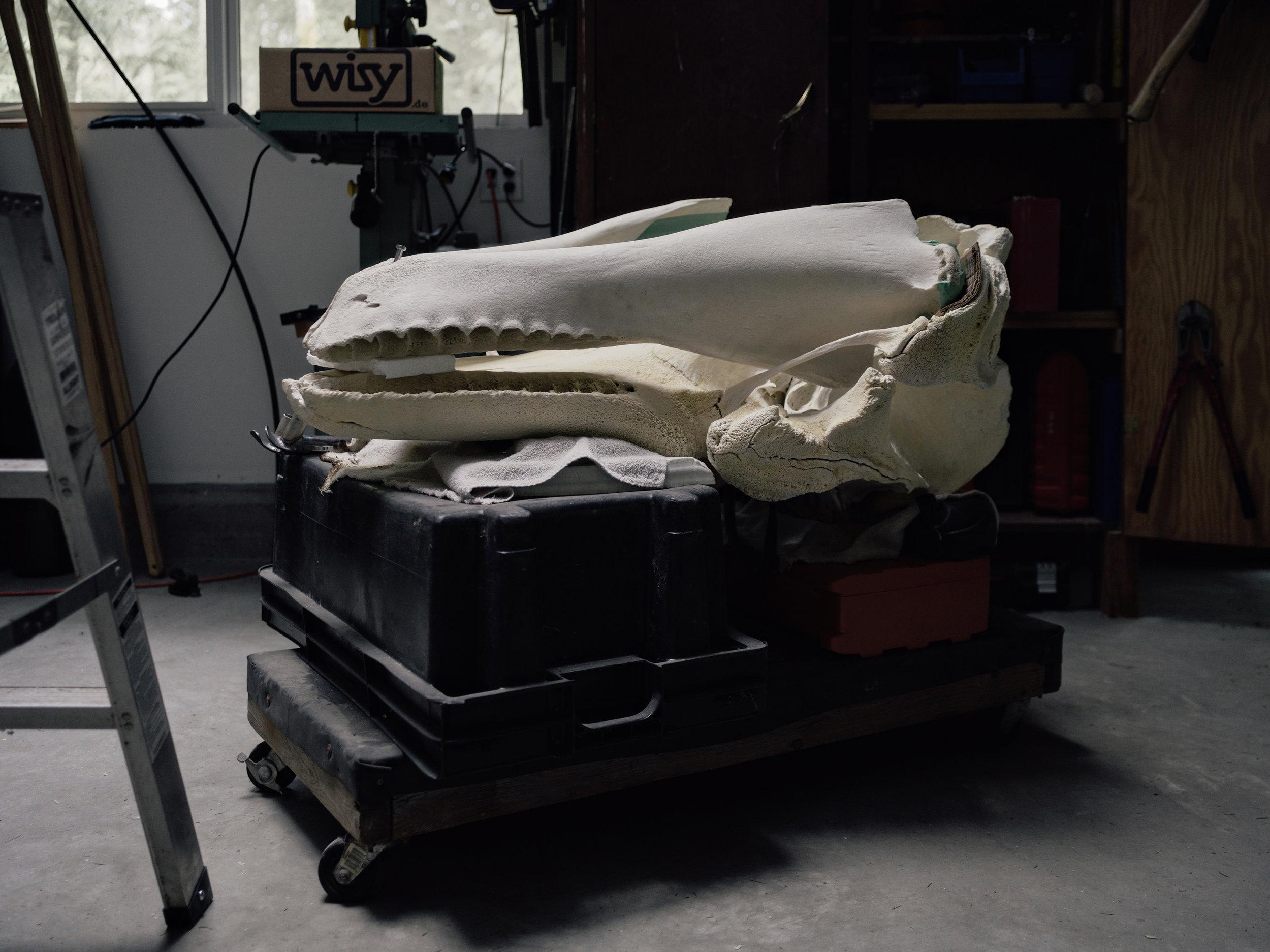 whale-skeleton-photos-taylorroades0458.JPG