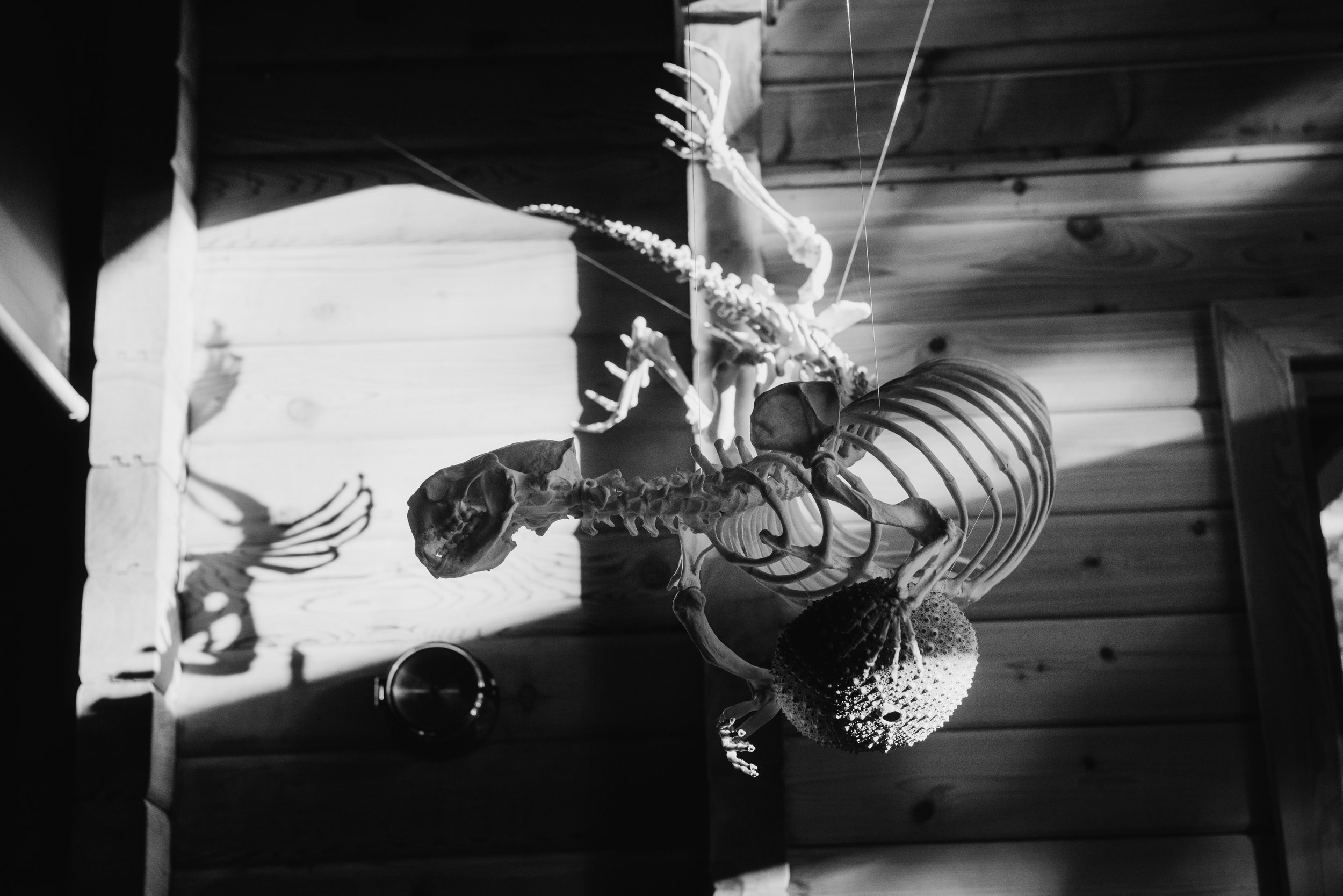 Every skeleton has a story.    The one you see here is a sea otter that died most likely of tooth decay off of Calvert Island. It was reconstructed by Mike deRoos and now hangs at the Hakai Institute diving for its favourite food - a giant Red Sea urchin.