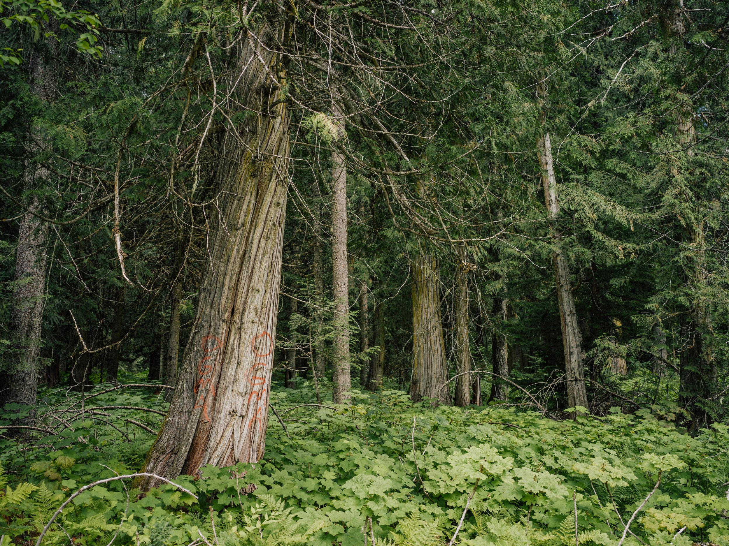 Inland-Temperate-Rainforest-TheNarwhal-0037.JPG