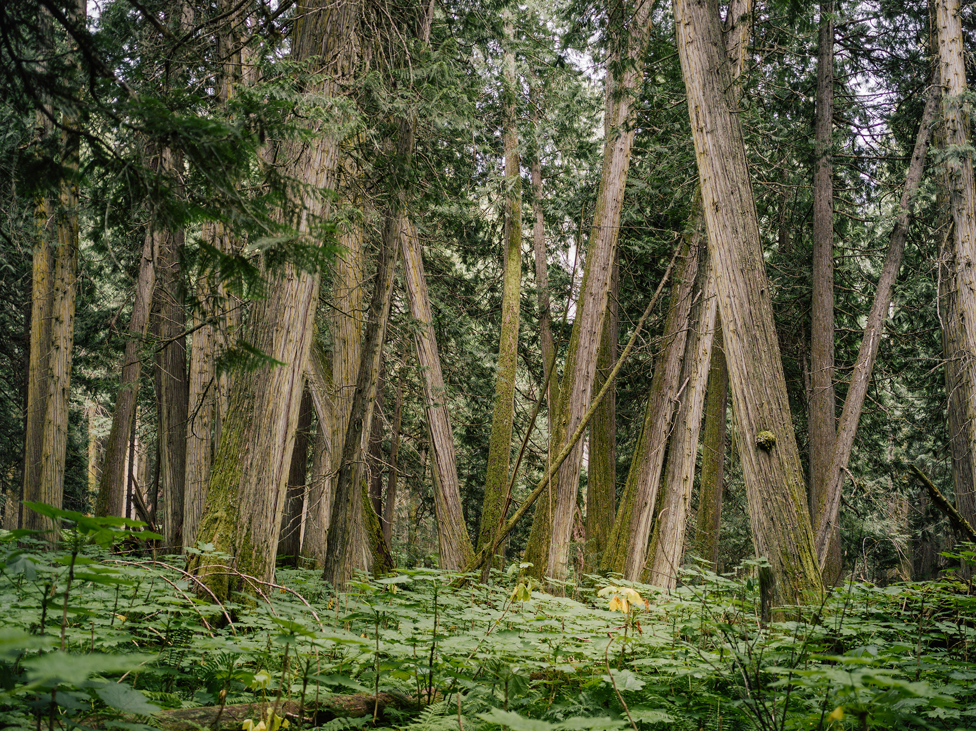 A grove of ancient cedar trees in B.C.'s rare inland temperate rainforest. Some cedars in this globally unique forest are estimated to be more than 1,500 years old. What little remains of the unprotected rainforest is now slated to be clear-cut.