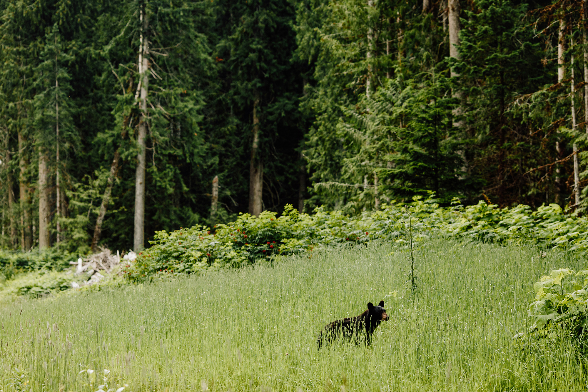 A black bear rests beside a logging road cut through the inland temperate rainforest.