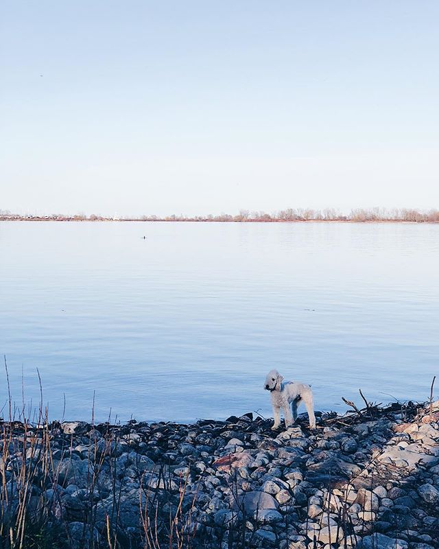 Parker's Sunday vibe #bedlington #terrier #lake #muskoka