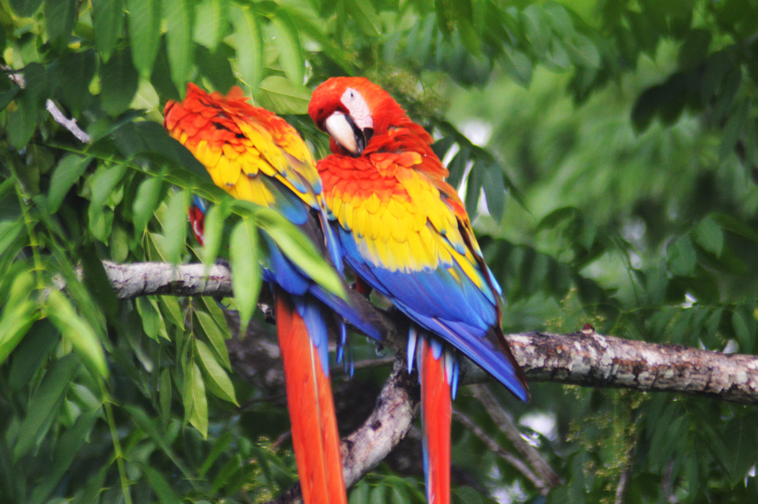 Retouched - 2 Macaws on Branch.jpg