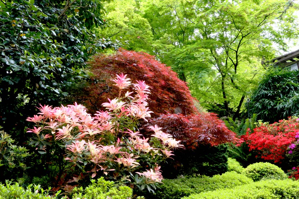 3152-pieris-pink-and-maples-1000-40.jpg