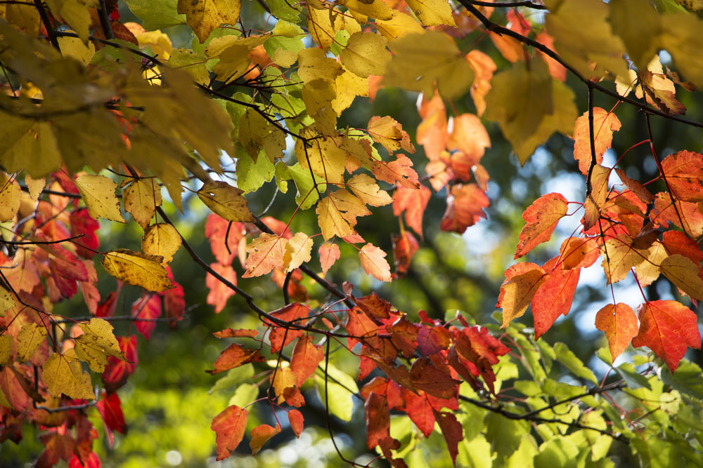0921-maple-leaves-multicoloured-1000-60.jpg