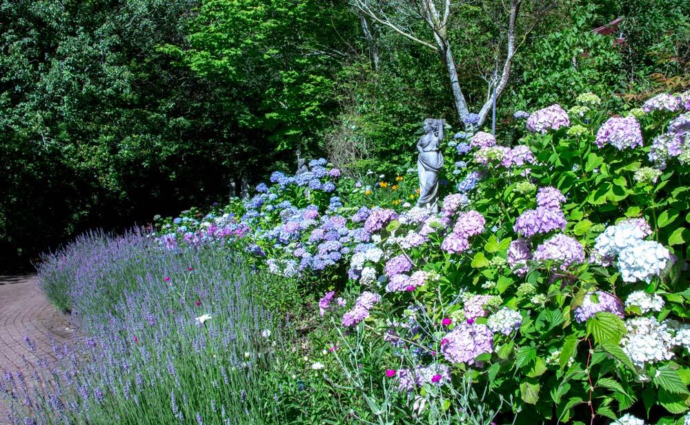 3683-hydrangeas-lavender-road-1000.jpg