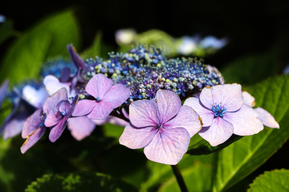 9670-hydrangea-flower-1000.jpg