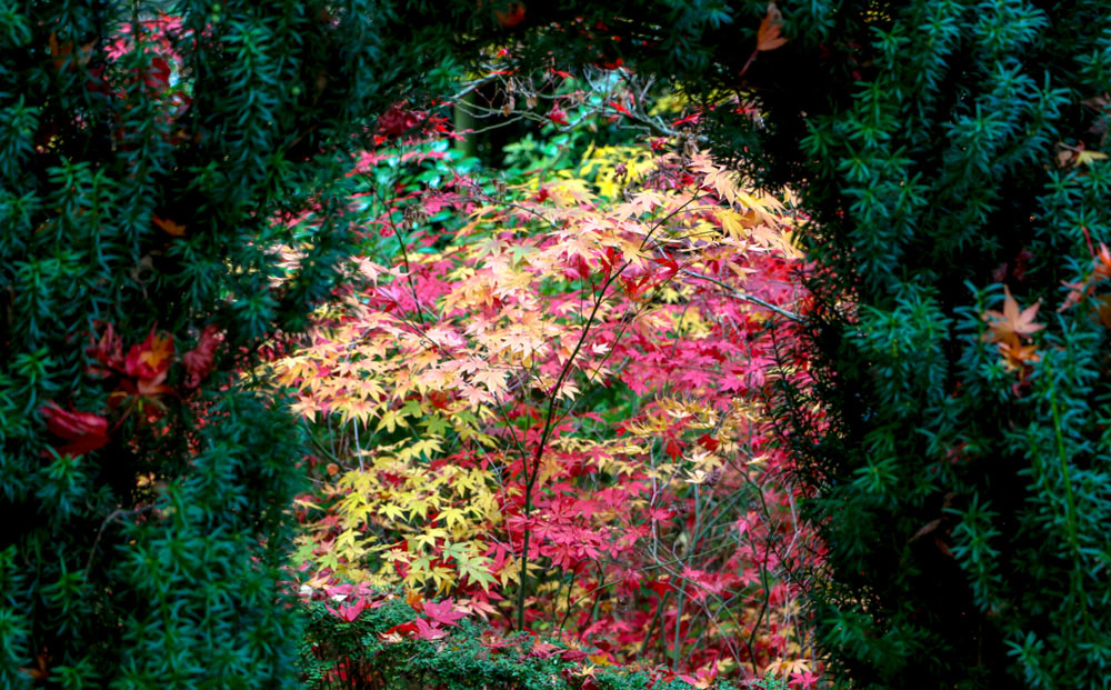 7017-autumn-leaves-through-hedge-1000.jpg