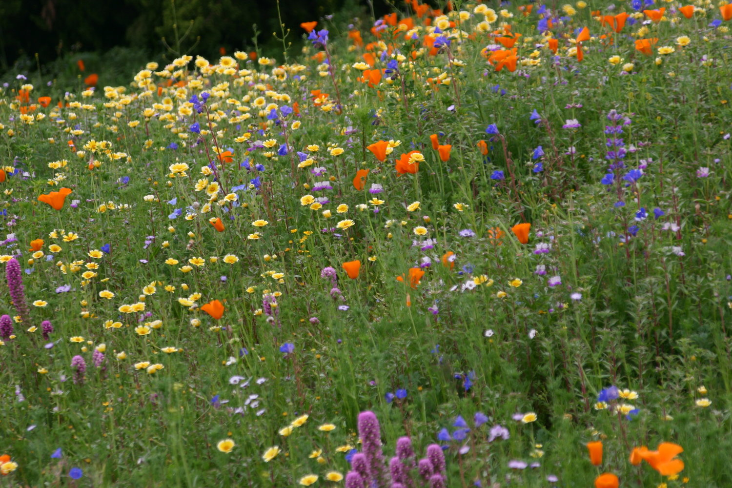 Seed was spread to create overlapping drifts of color, which is essential to maintain drama in such a large planting of wildflowers. Photo by Greg Rubin.