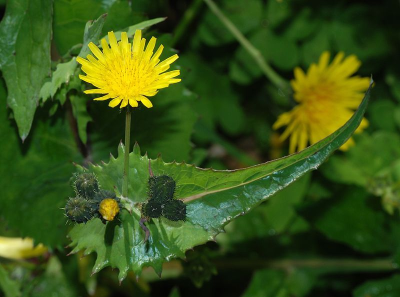 Sow Thistle (Sonchus oleraceus)non-native weed in California