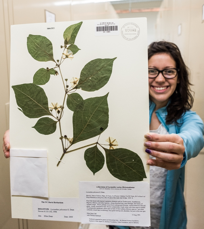 Student assistant Mayra Huerta shows off the type specimen of Lycianthes jalicensis, a species described by Curator Ellen Dean in 1998. Type specimens are the most valuable specimens in a herbarium, because they represent what an author means by a species name that they publish. Photo: D. McNair.