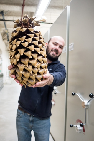 Some specimens are not flat enough to mount onto paper and are kept in a bulky items area. This large Coulter pine cone, held by Assistant Curator Daniel McNair, is one such specimen. Photo: J. Shepard.