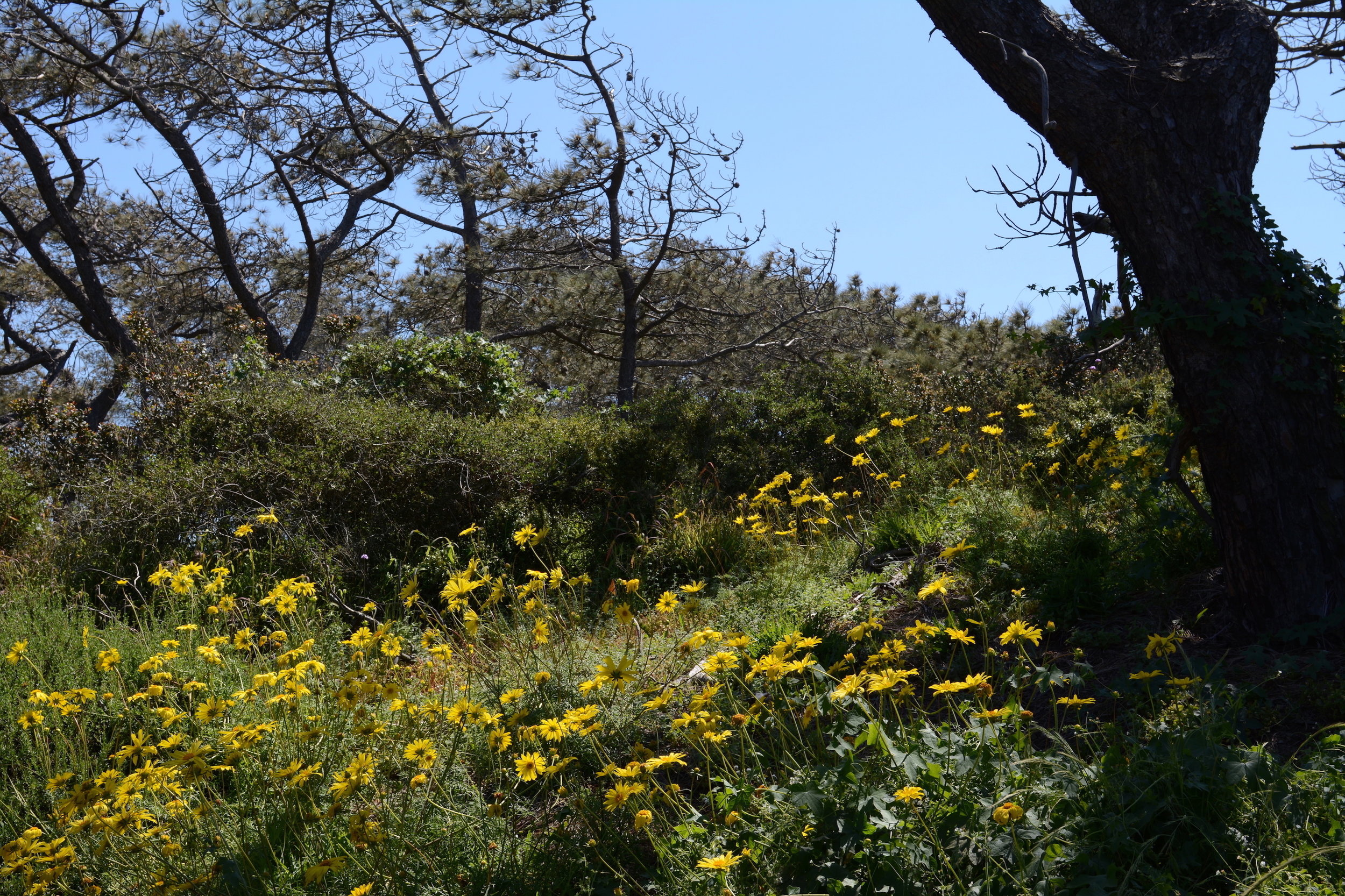Leptosyne and Pinus torreyana at Torrey Pines