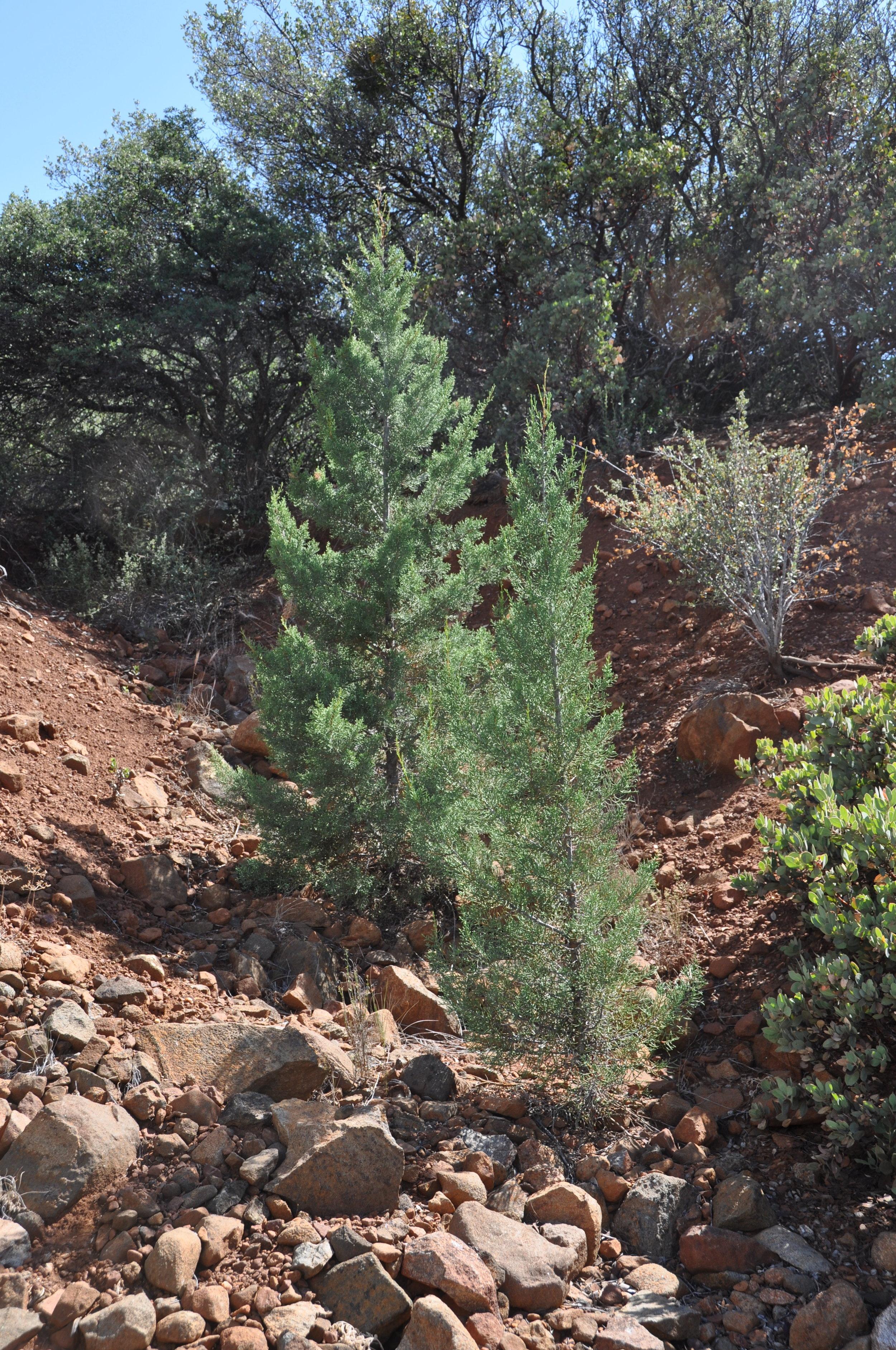 Hesperocyparis forbesii  (Tecate Cypress) seedlings