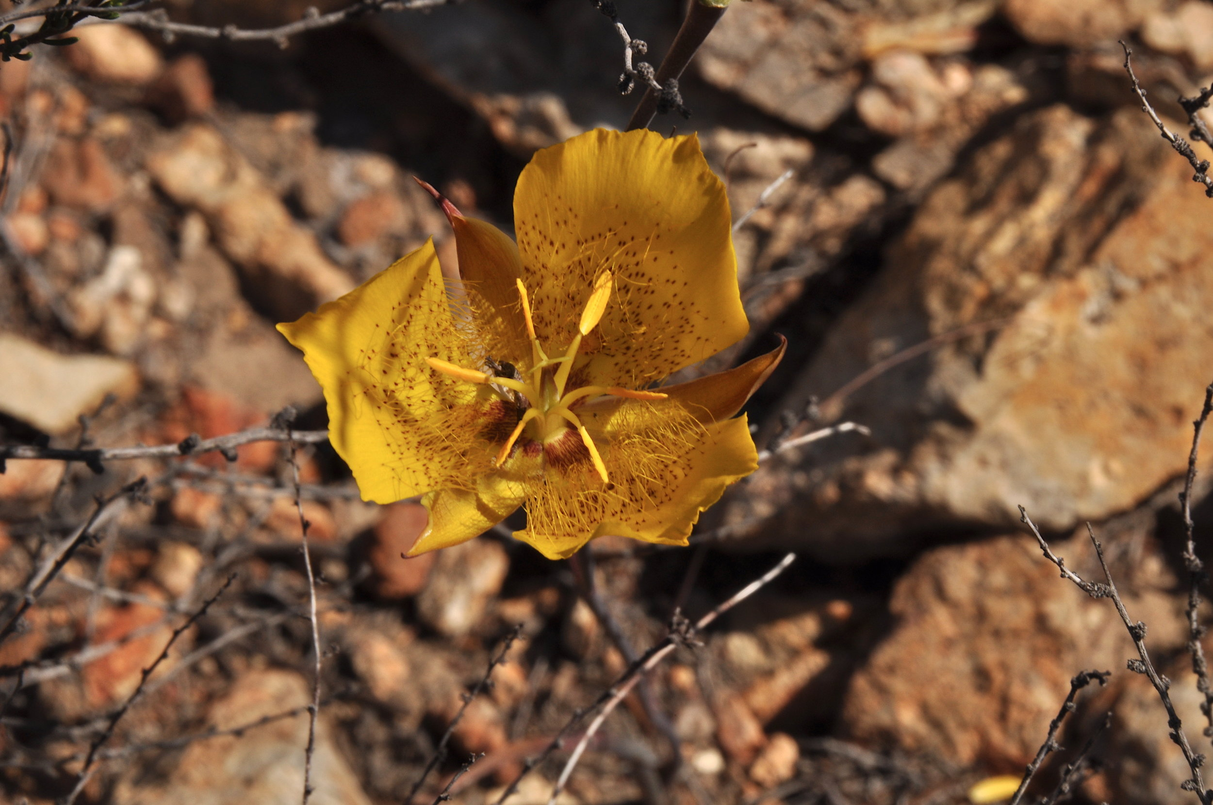 Weed's Mariposa Lily (Calochortus weedii)