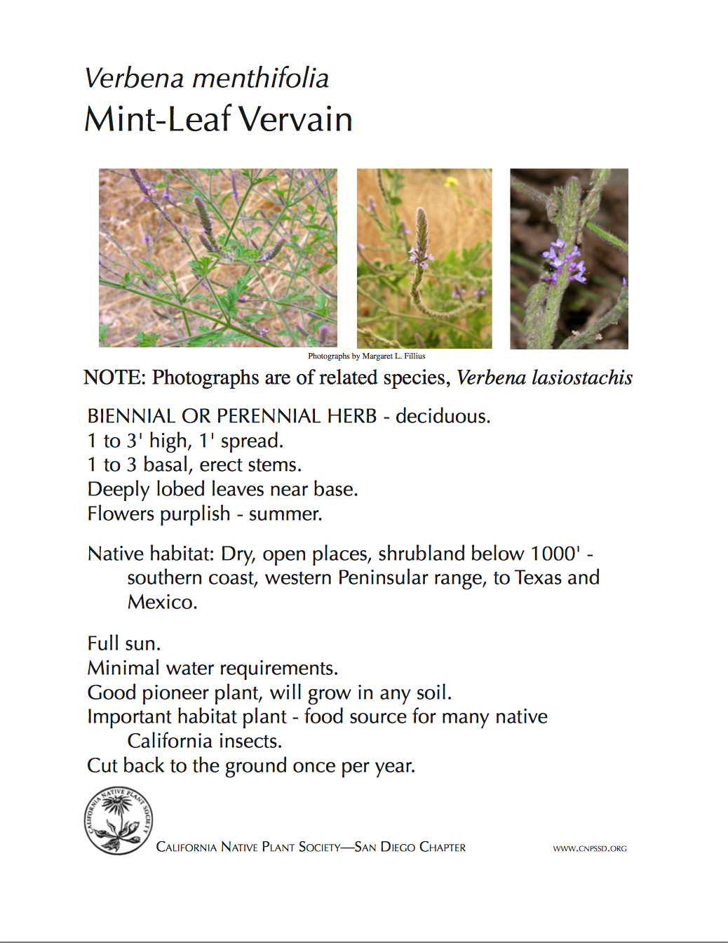 Verbena menthifolia.png