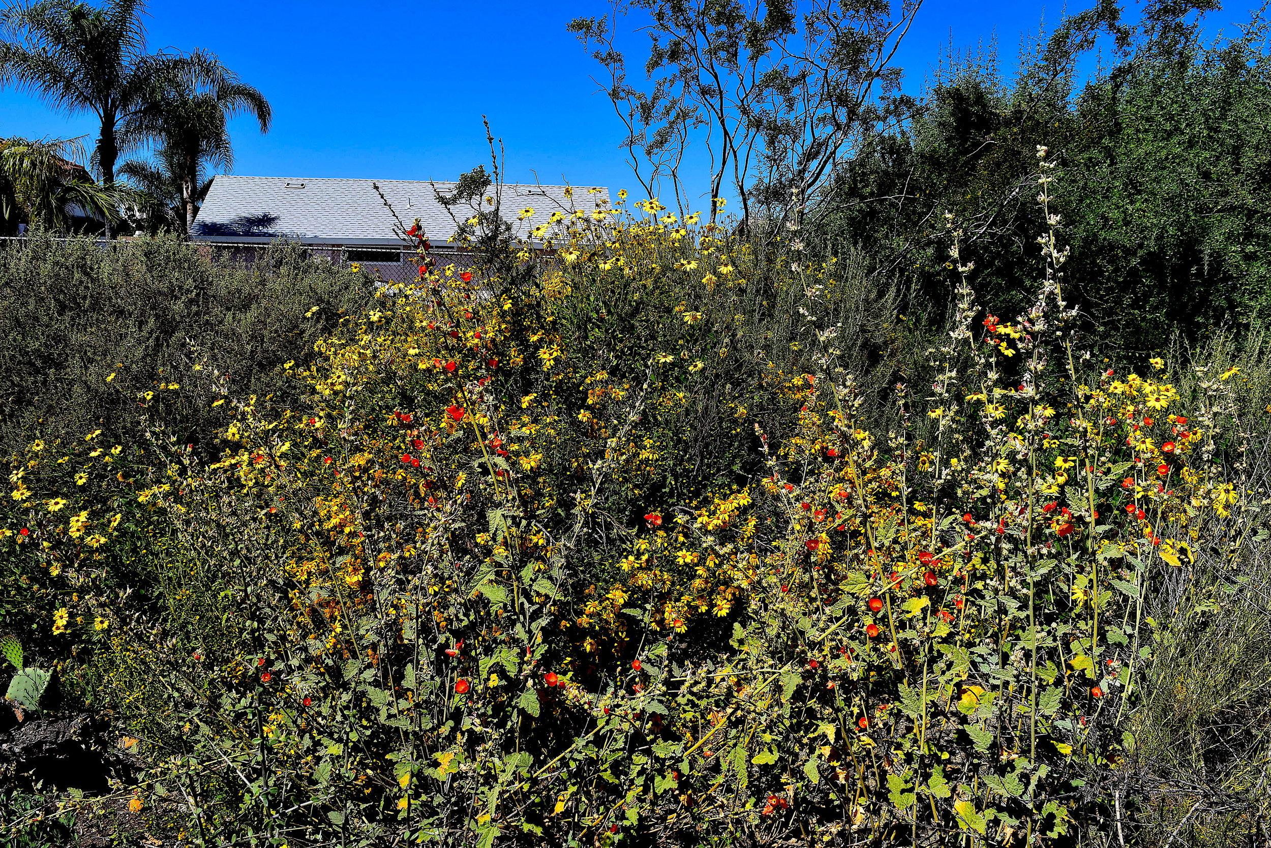 Encelia californica and Spharaelcea ambigua at 'A Walk in Beauty' GNT 2017 Chris Hendrickson.JPG