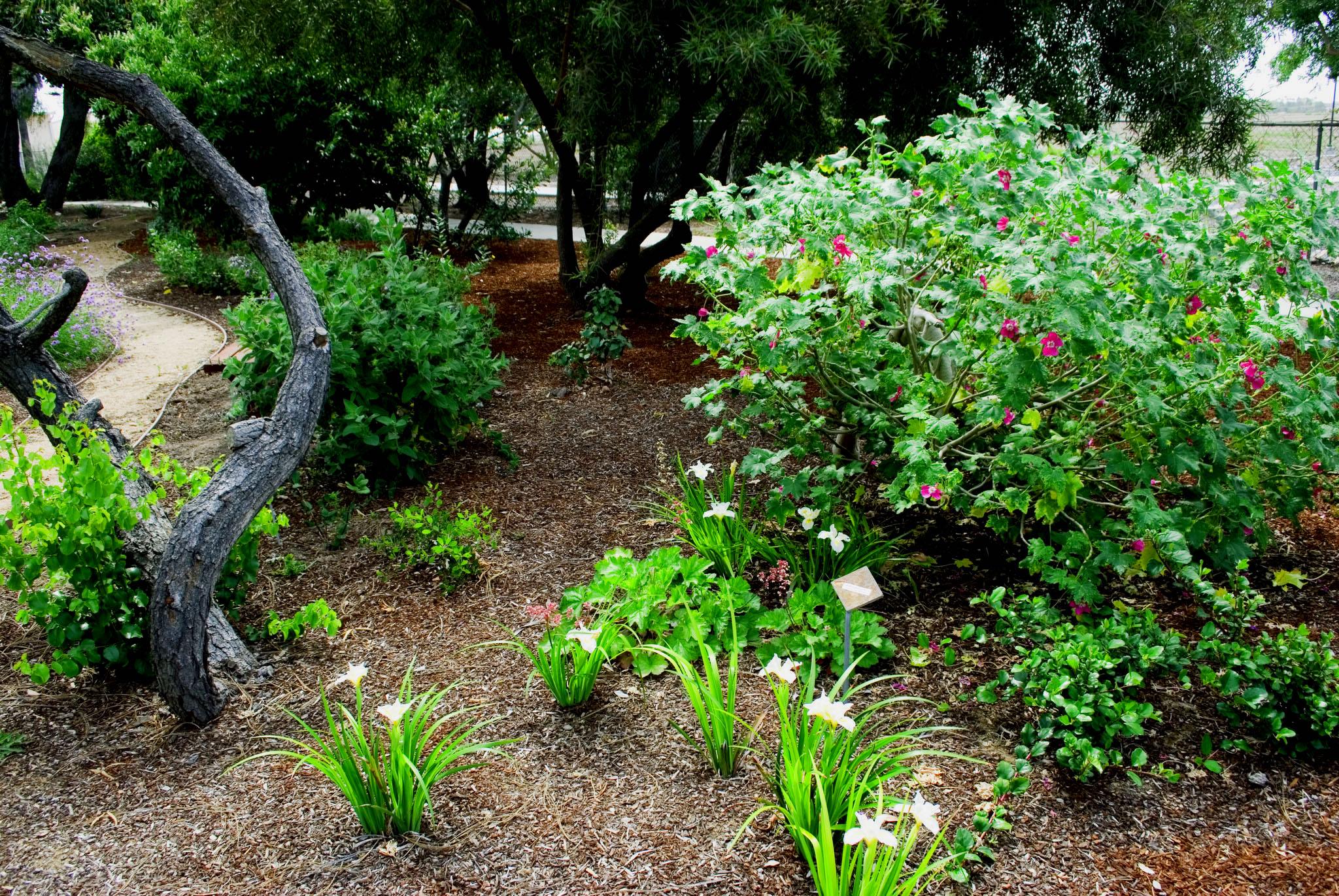 Tree Mallow (Lavatera assurgentiflora) PC Barbara Hebel.jpeg