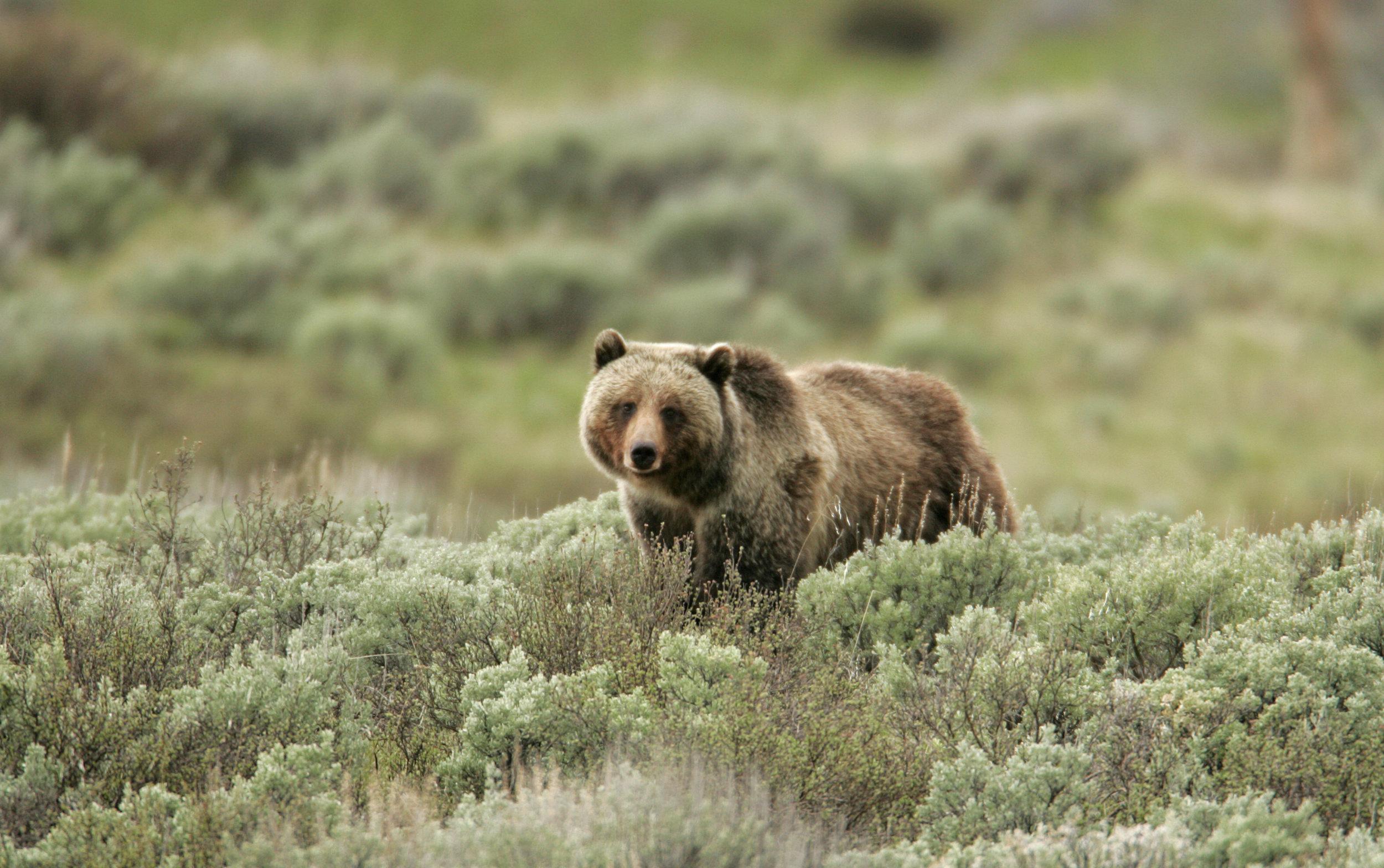 Grizzly_bear_.jpg