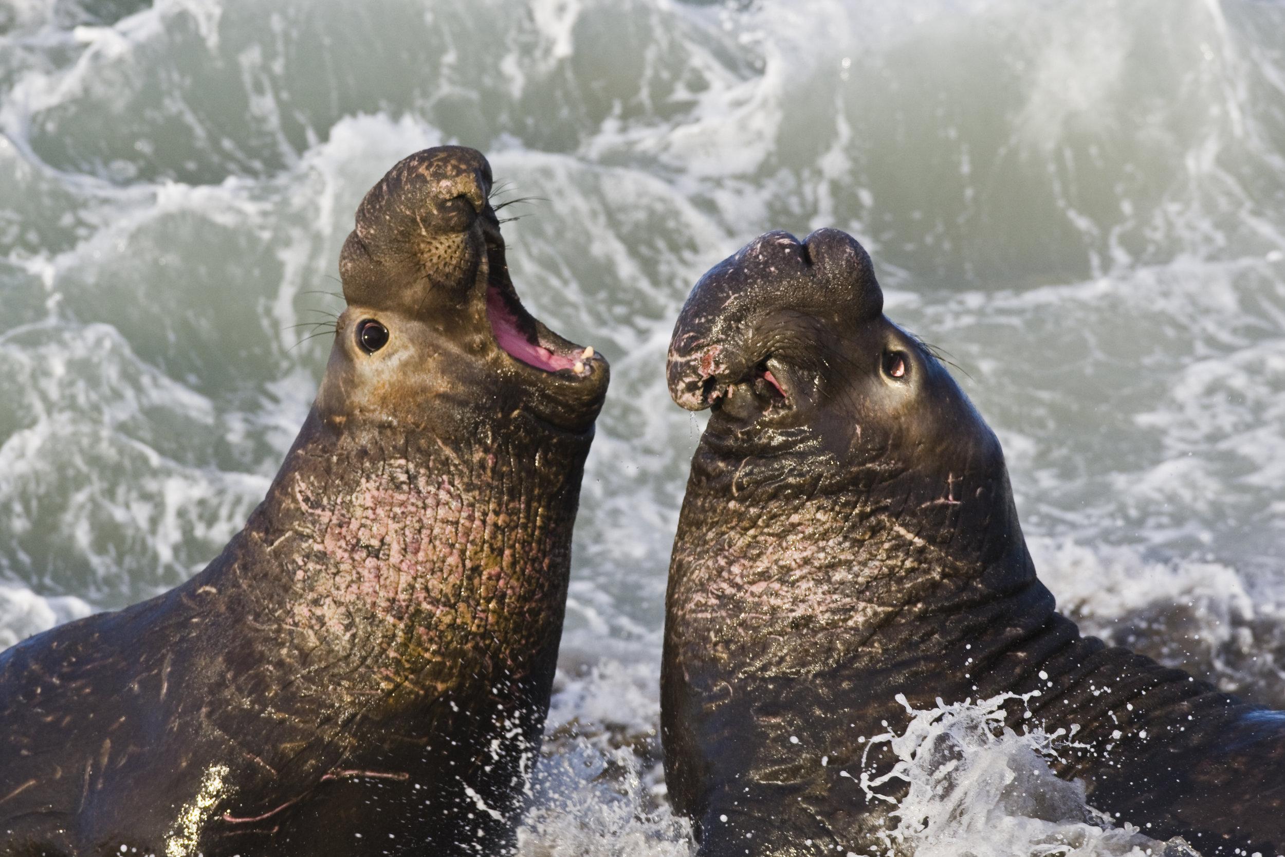 Elephant Seals