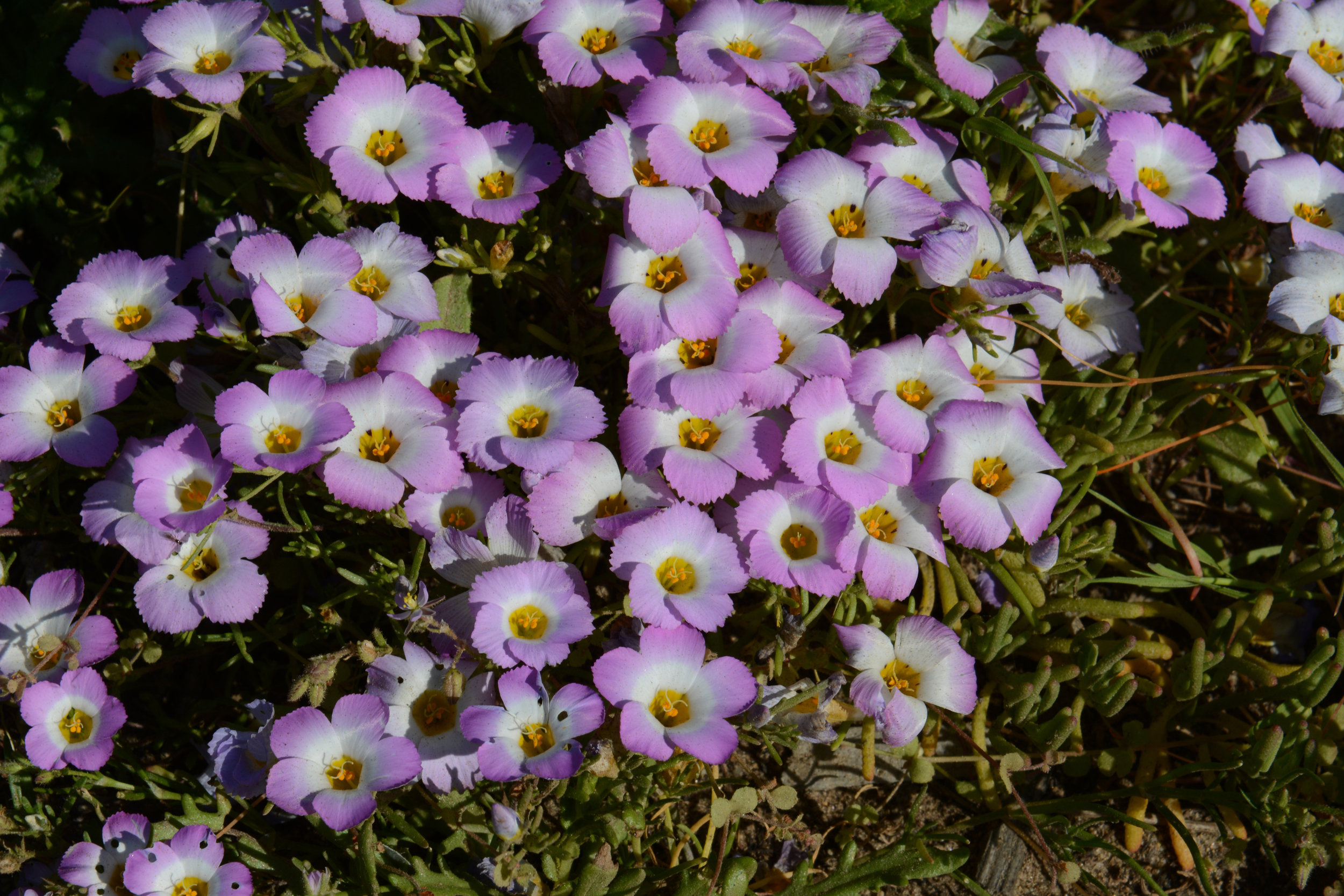 Linanthus dianthiflorus photo by Tom Oberbauer