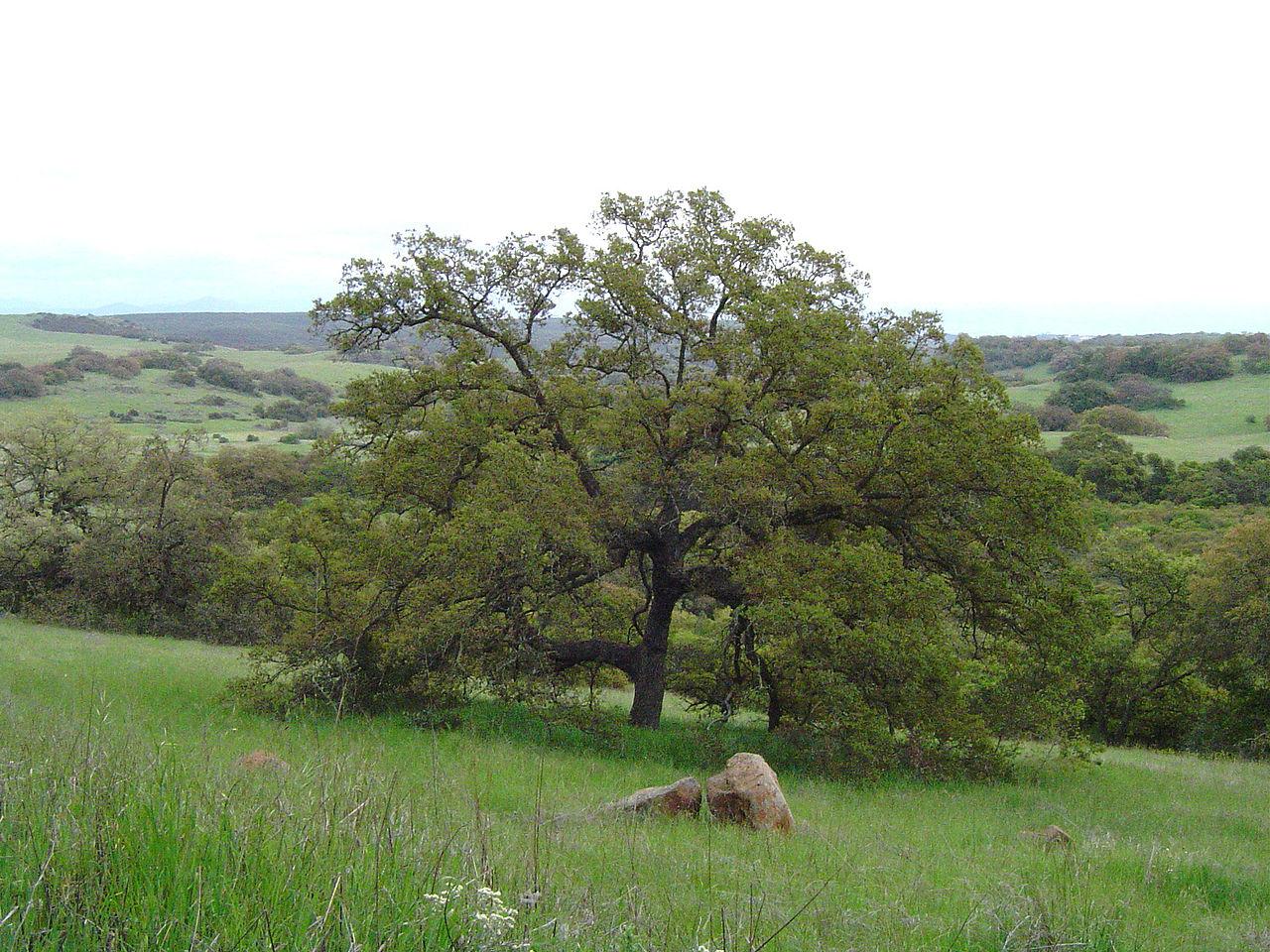 Quercus engelmanii