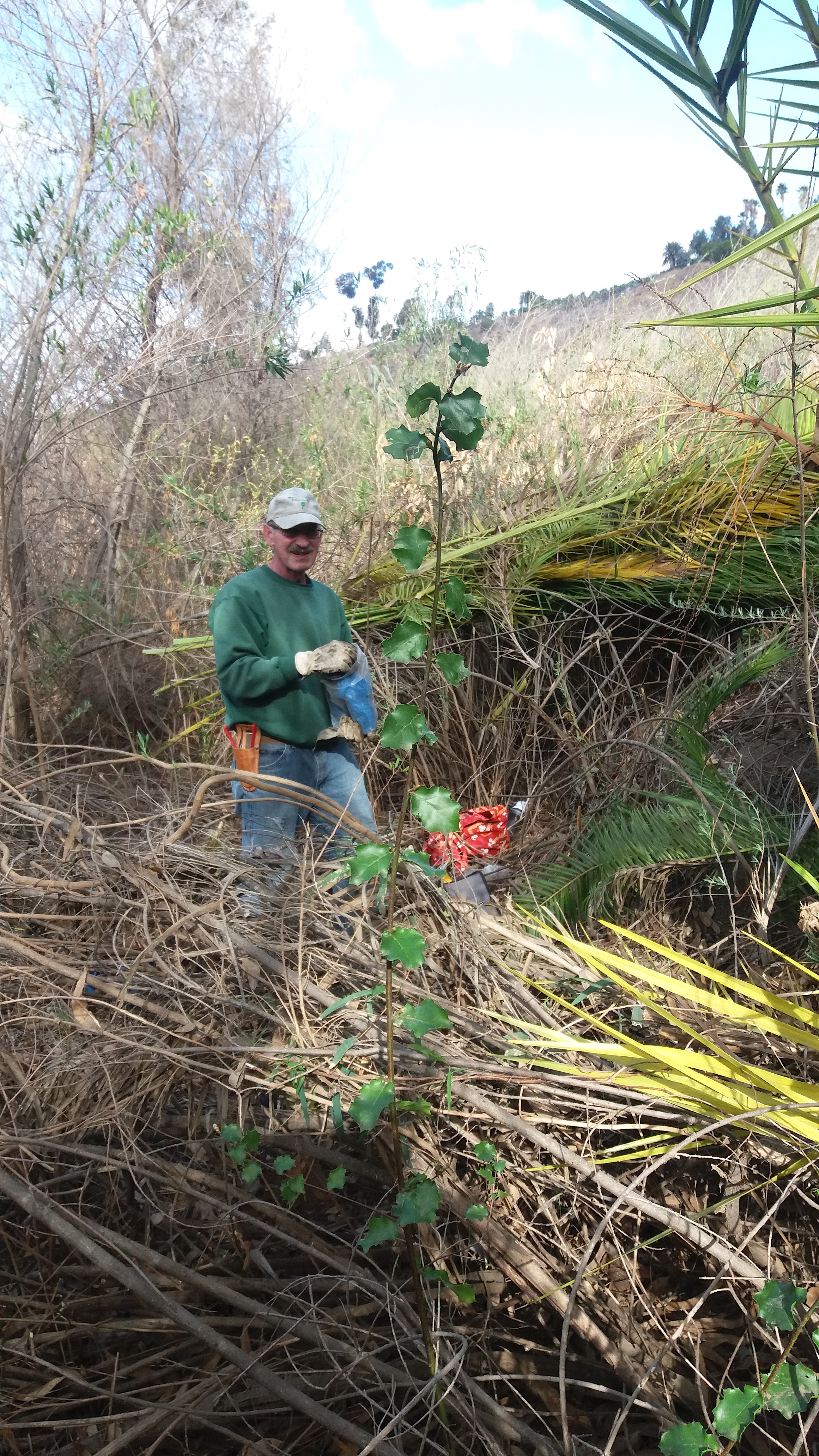 Bob Byrnes stands with a robust Coast Live Oak sapling brought into the sunlight after palm fronds shading it were removed.