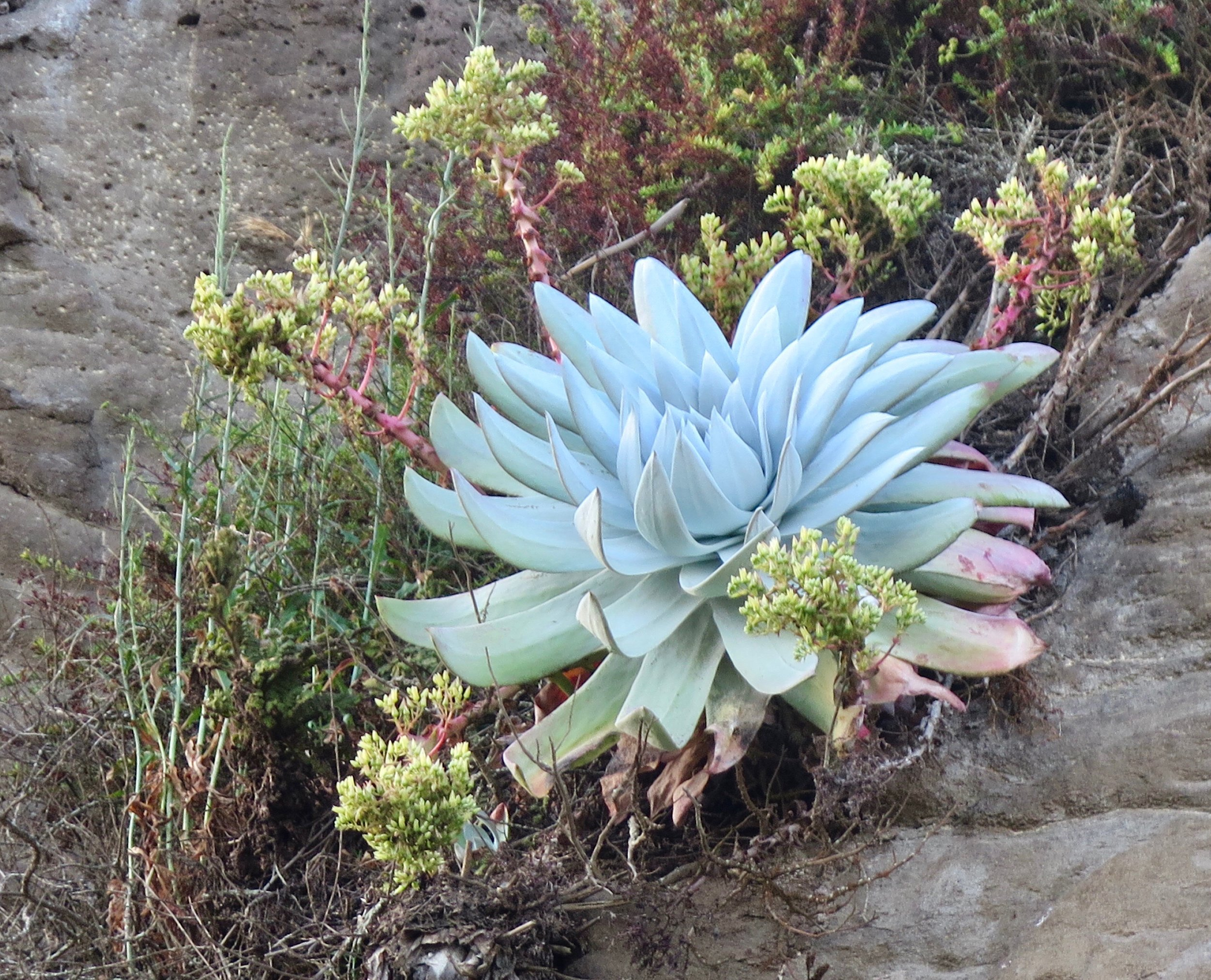 Photographed near Ensenada, Baja California.