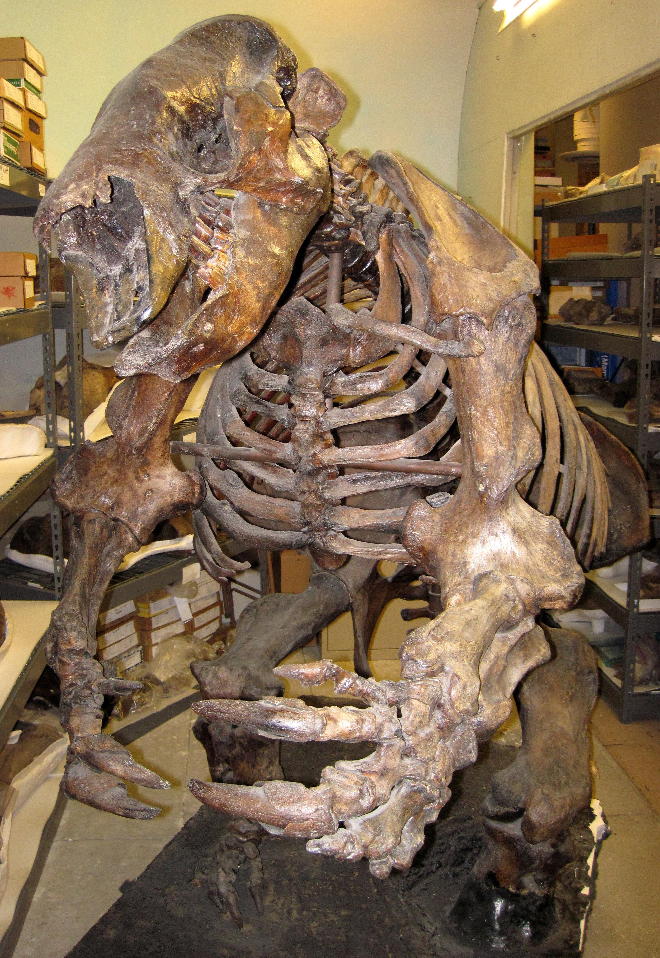 James St. John , Paramylodon harlani ground sloth (La Brea Asphalt, Upper Pleistocene; Rancho La Brea, Los Angeles, southern California, USA) 7 (15444177065) , CC BY 2.0