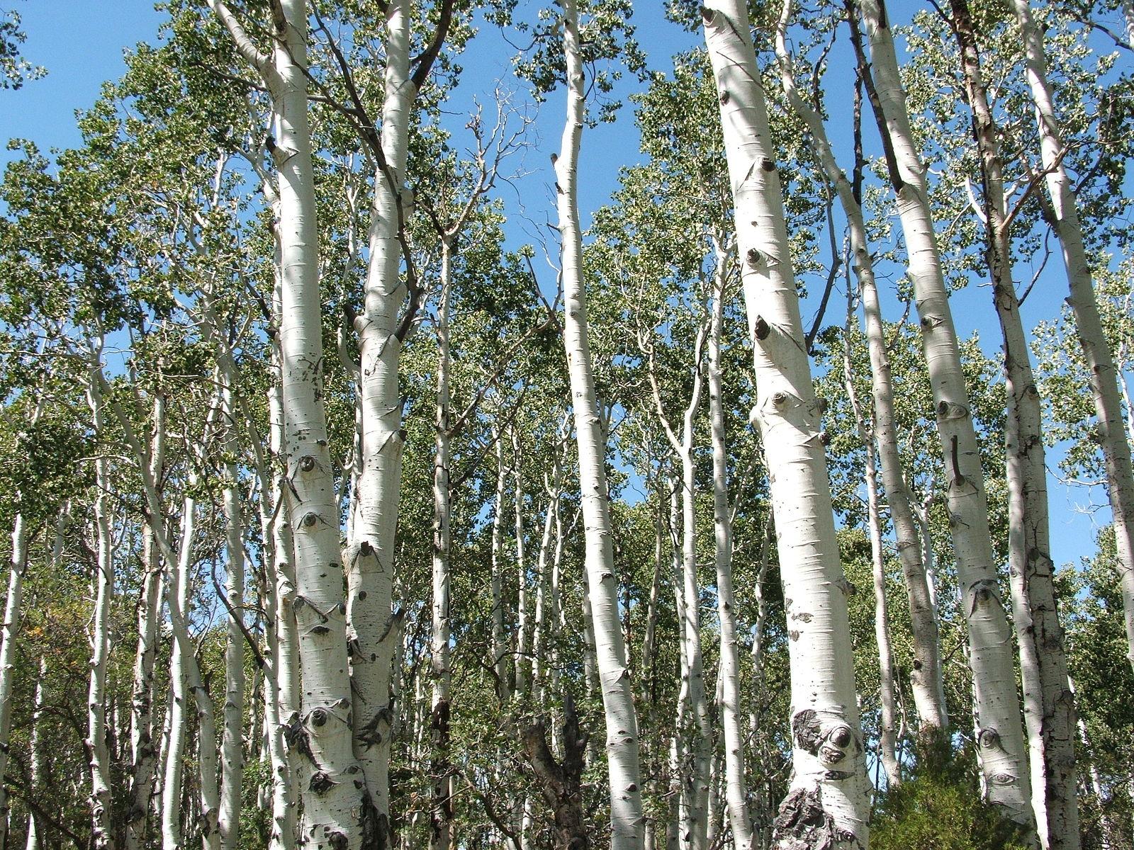 Quaking Aspen (Populus tremuloides)  Tewy ,  Aspen (Populus tremuloides) 02 ,  CC BY-SA 3.0