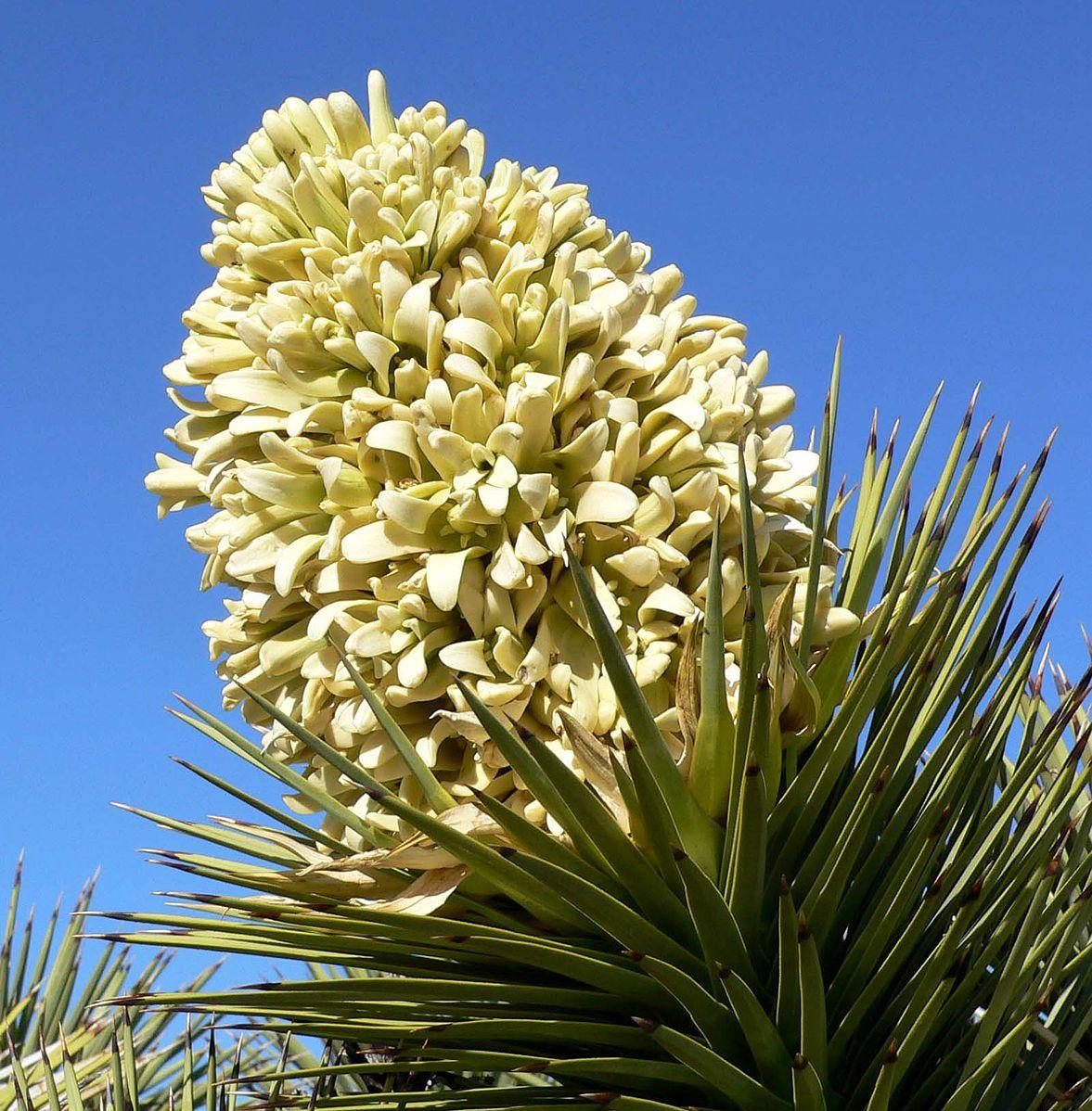Joshua Tree (Yucca brevifolia)  Yucca brevifolia inflorescence ,  CC BY-SA 3.0