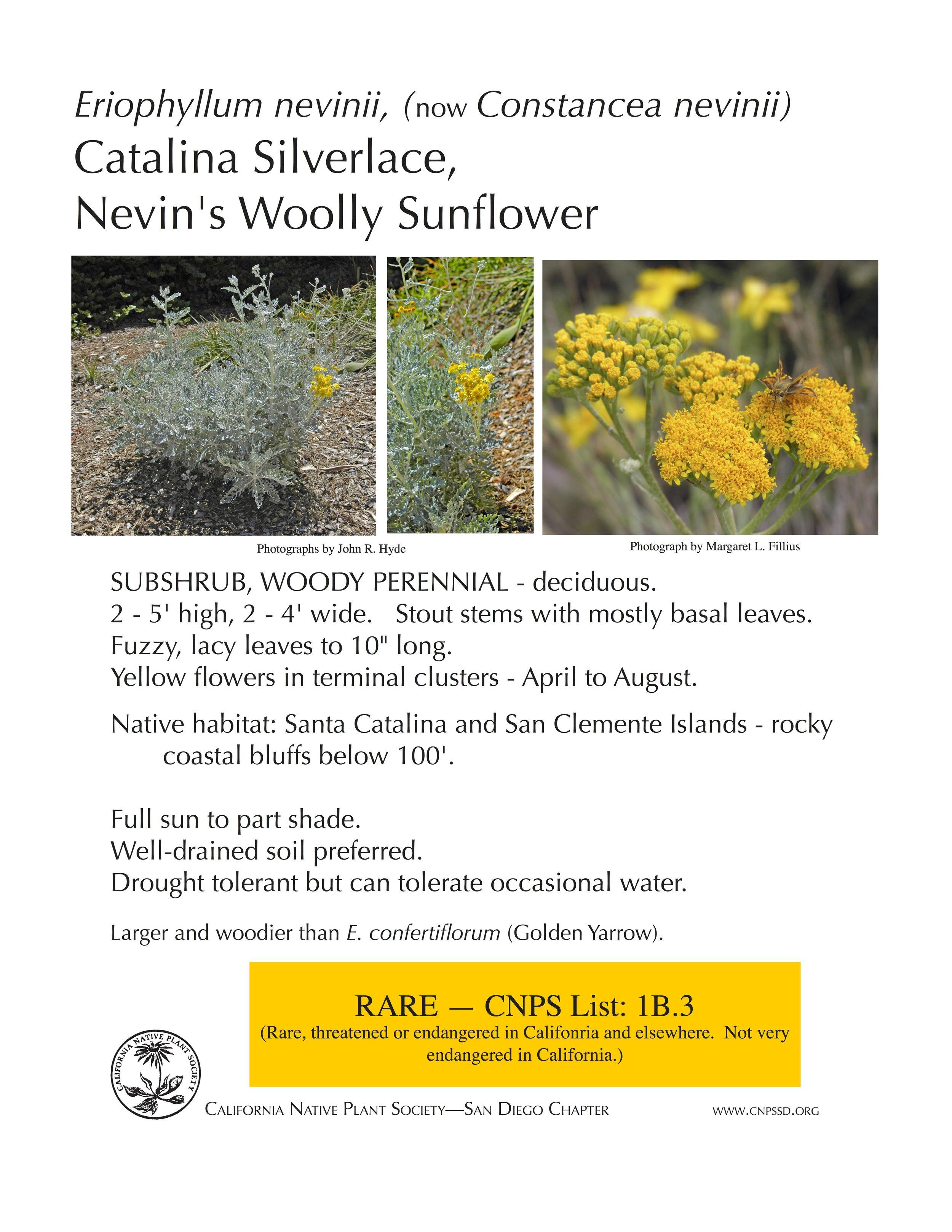 Nevin's Wooly Sunflower (Constancea nevinii).jpg