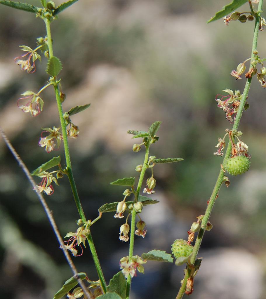 California Ayenia (Ayenia compacta), Wickenburg Mountains, Yavapai Co., Arizona, USA, photo by Mike  https://es.wikipedia.org/wiki/Archivo:Ayenia-compacta.jpg