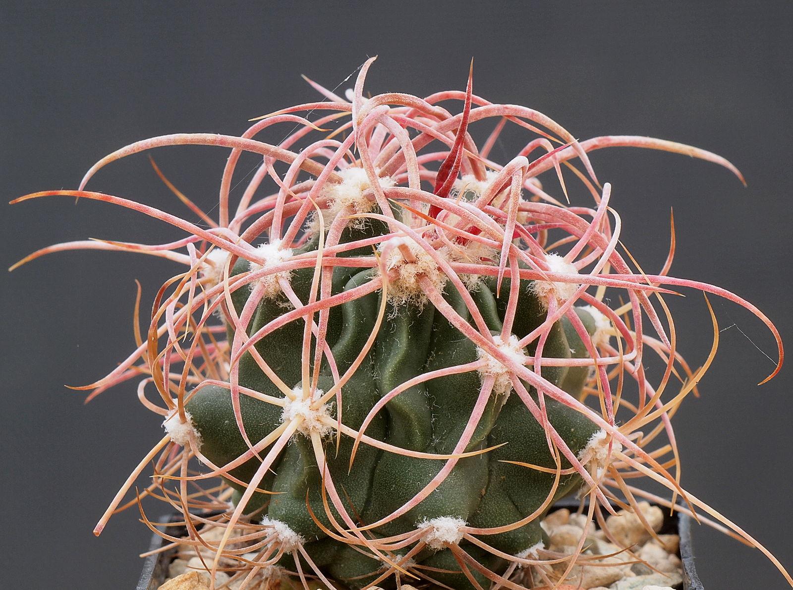 Echinocactus polycephalus, photo by Dornenwolf from Deutschland  https://commons.wikimedia.org/wiki/File:Echinocactus_polycephalus_(14737872158).jpg
