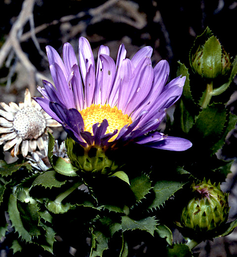 Orcutt's daisy (Xylorhiza orcuttii) PC: Fred Roberts