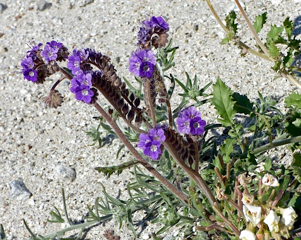Cleftleaf Wild Heliotrope (Phacelia crenulata) PC: Juergen Schrenk