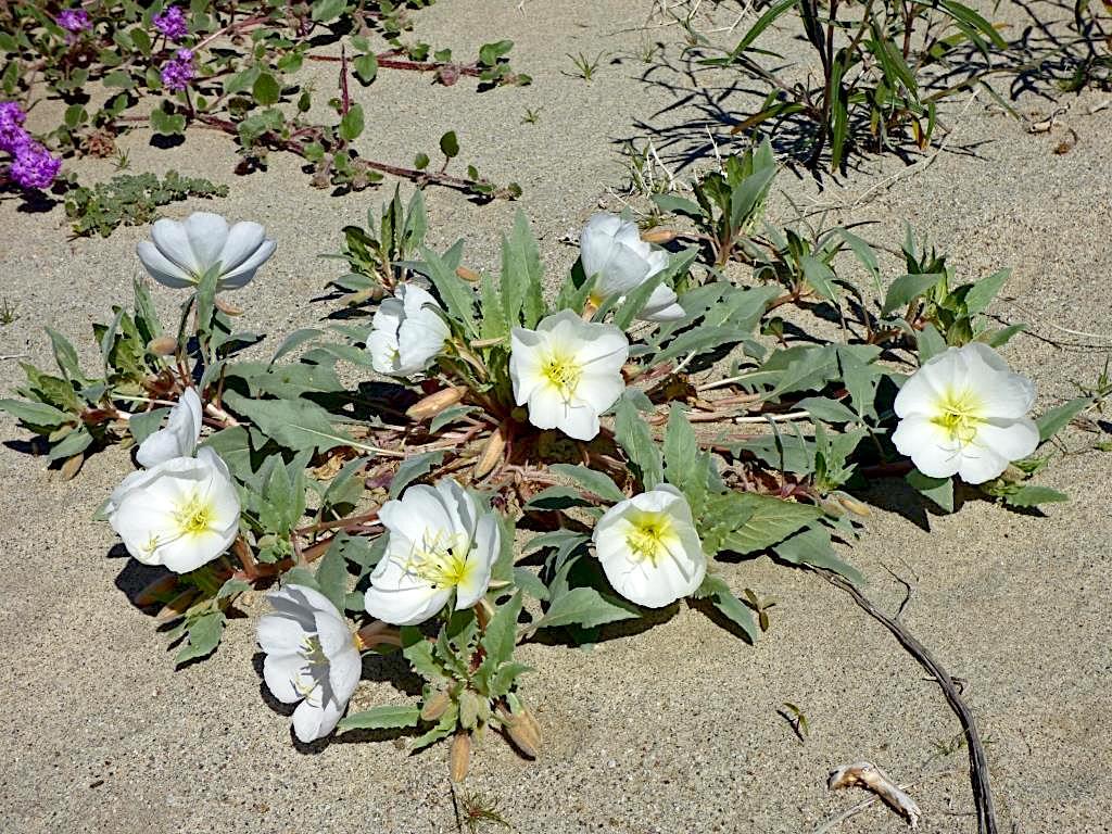 Dune Evening Primrose (Oenothera deltoides) PC: Juergen Schrenk