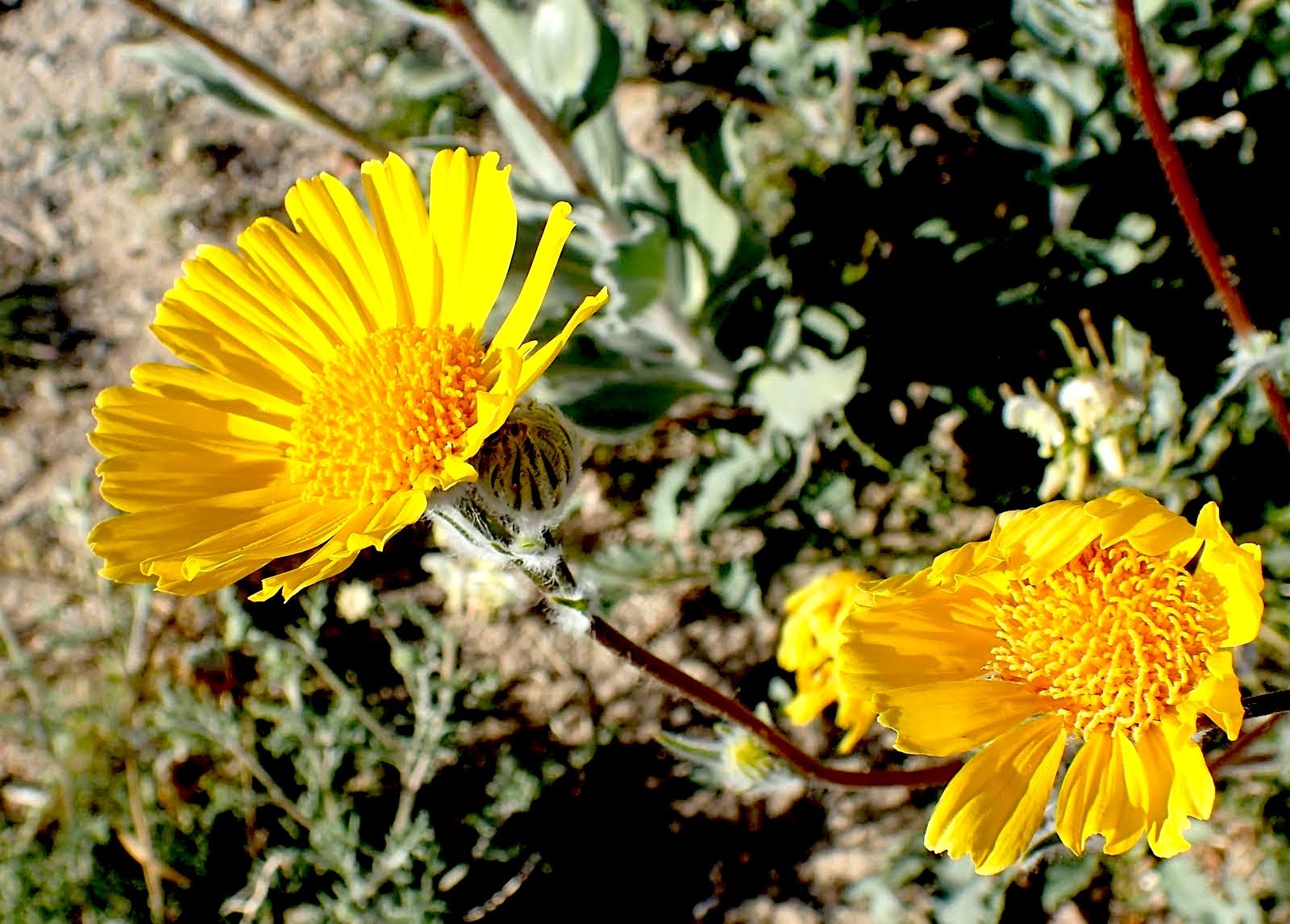 Hairy Desert Sunflower (Geraea canescens) PC: Lee Gordon