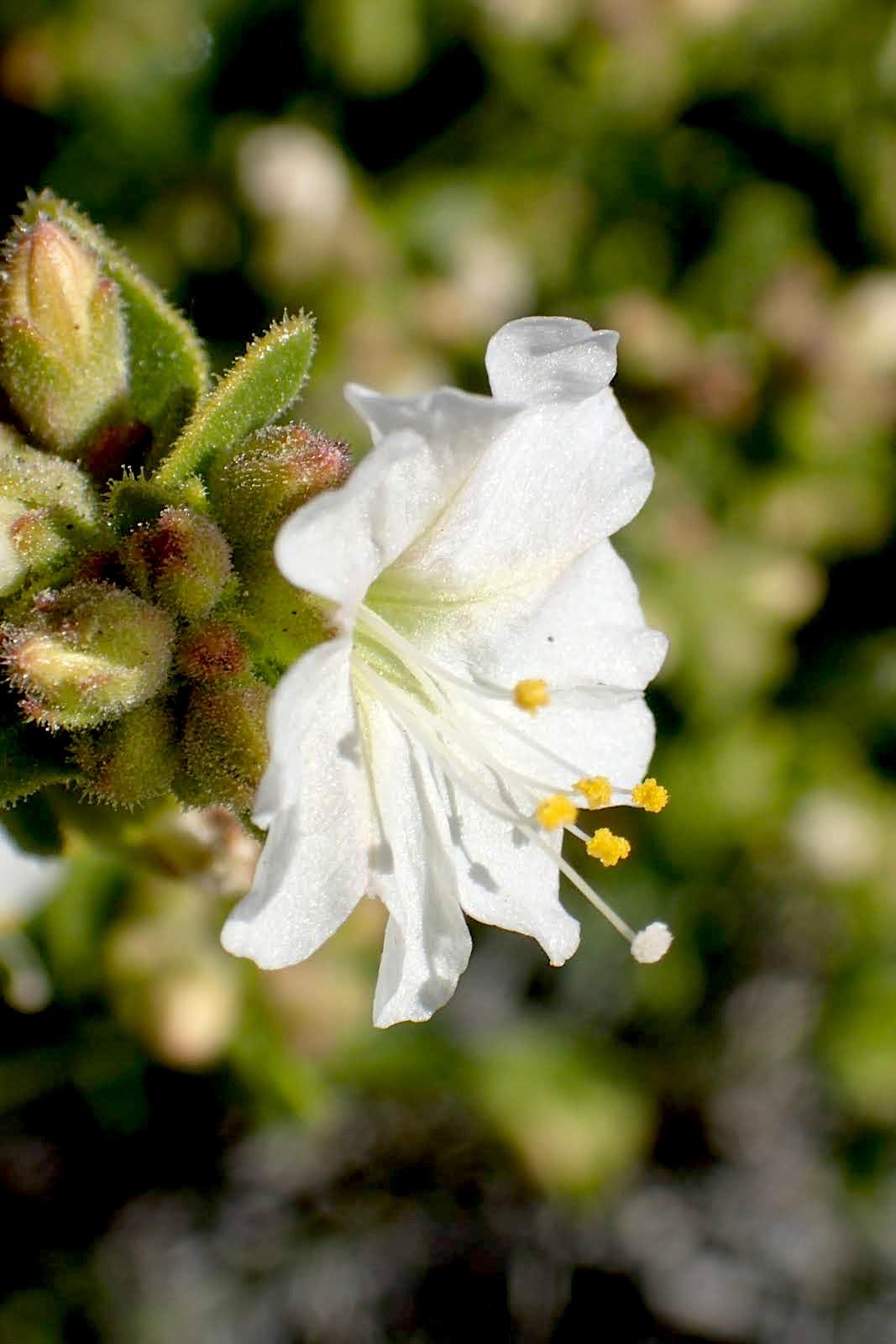 Desert Wishbone Bush (Mirabilis laevis) PC: Lee Gordon