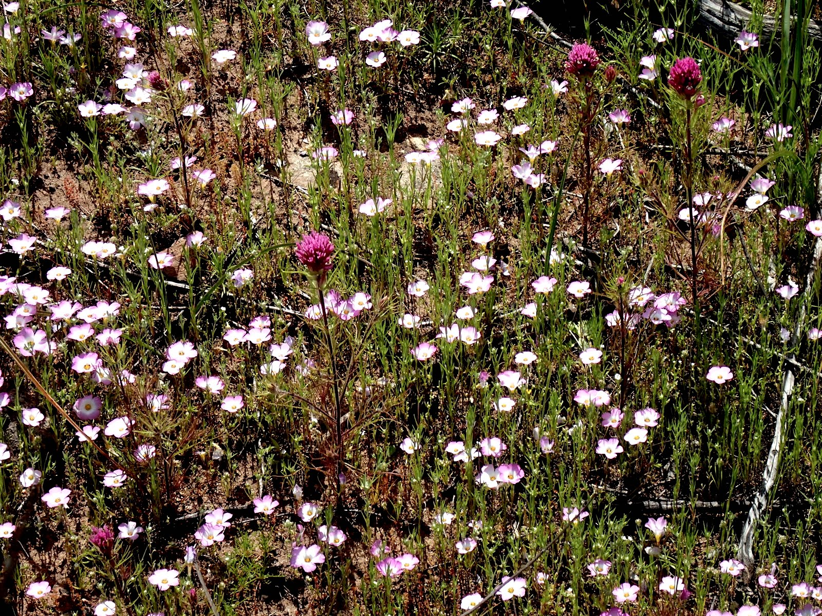 Ground Pinks (Linanthus dianthiflorus) and Owl's Clover (Castilleja exserta) PC: Lee Gordon