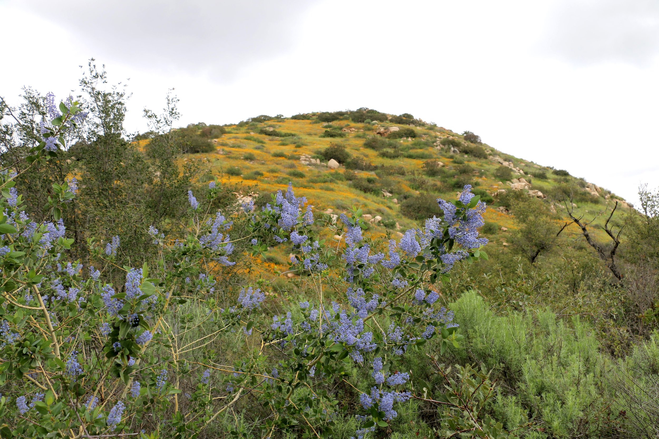 White Bark Ceanothus (Ceanothus leucodermis) against a hill of California Poppy PC: Steve Miller