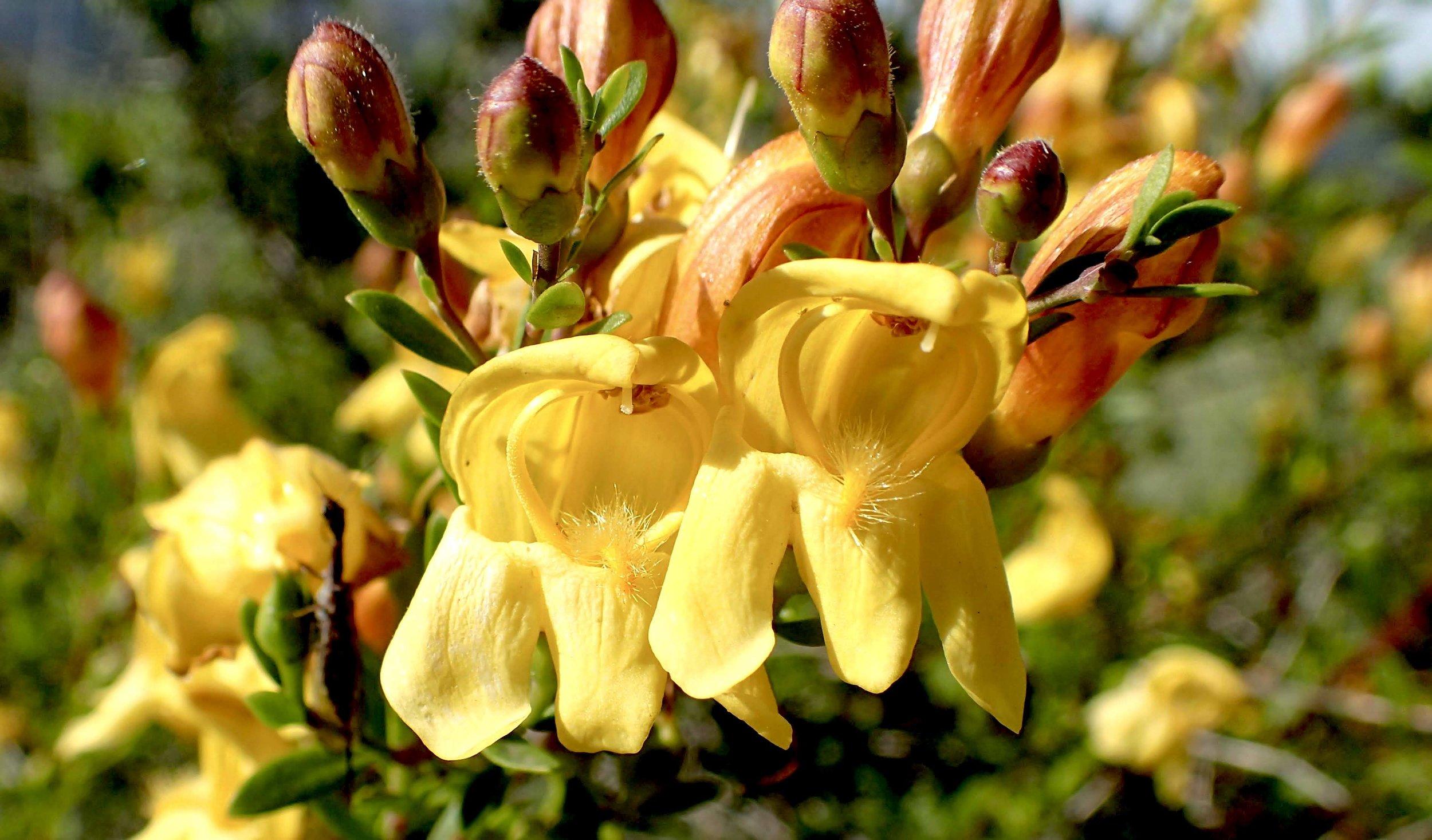 Yellow Bush Snapdragon (Keckiella antirrhinoides) PC: Lee Gordon