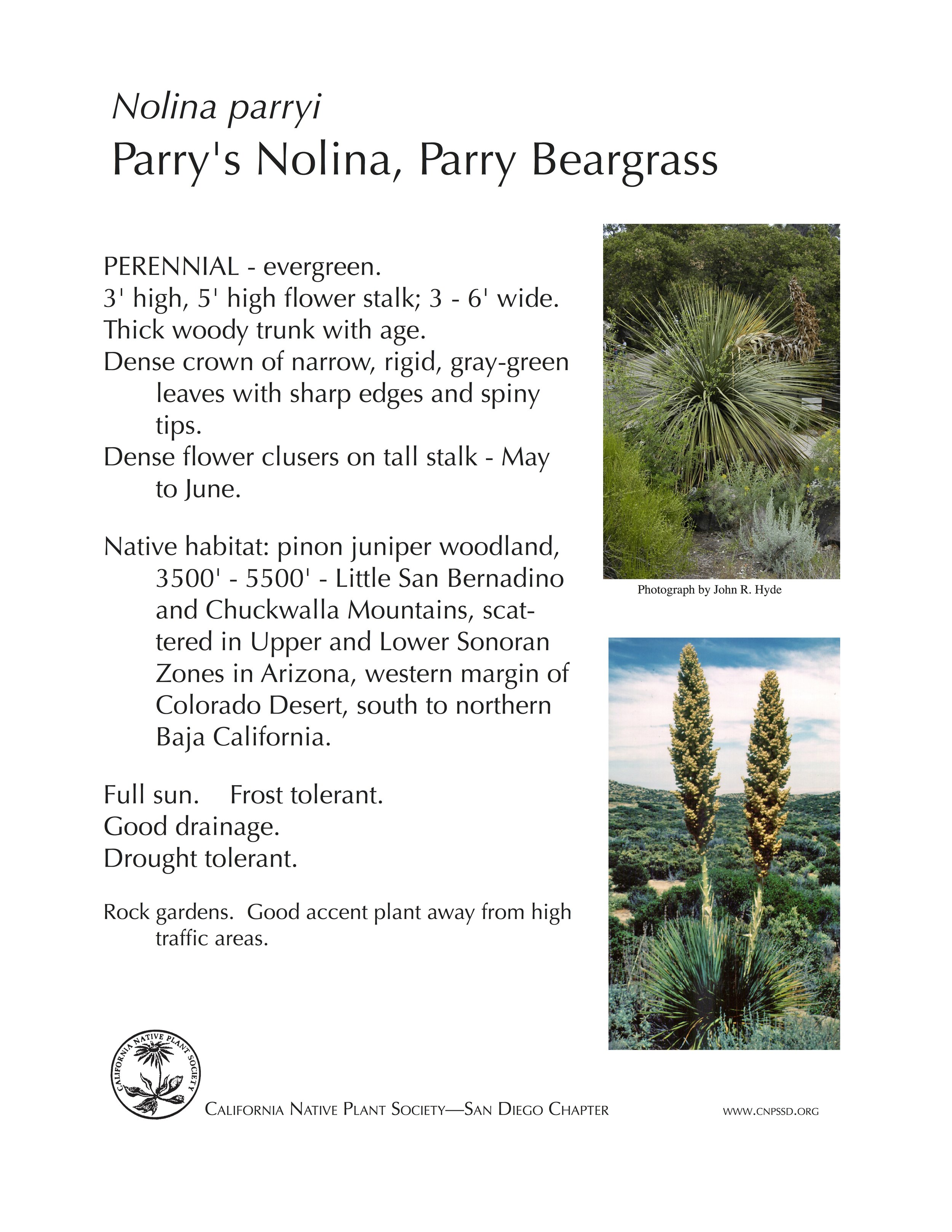 Parry Beargrass (Nolina Parryi).jpg