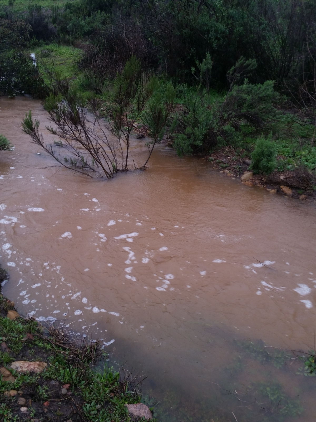 Figure 5. San Clemente Creek flooded by heavy rain (2/14/2019). All of the Willowy Mints planted at this site were under water at this time.