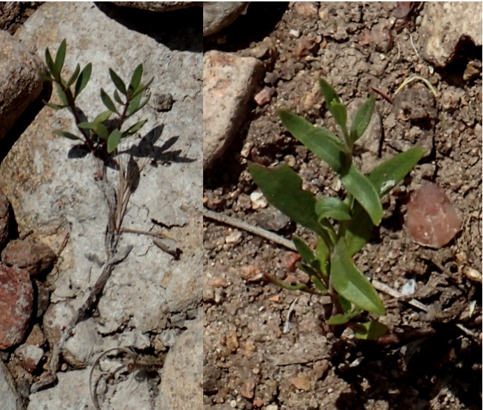 Figure 7 left. Willowy Mint that survived a month under water. Figure 7 right. Willowy Mint that survived three weeks under water. Photos taken May 17, 2019.