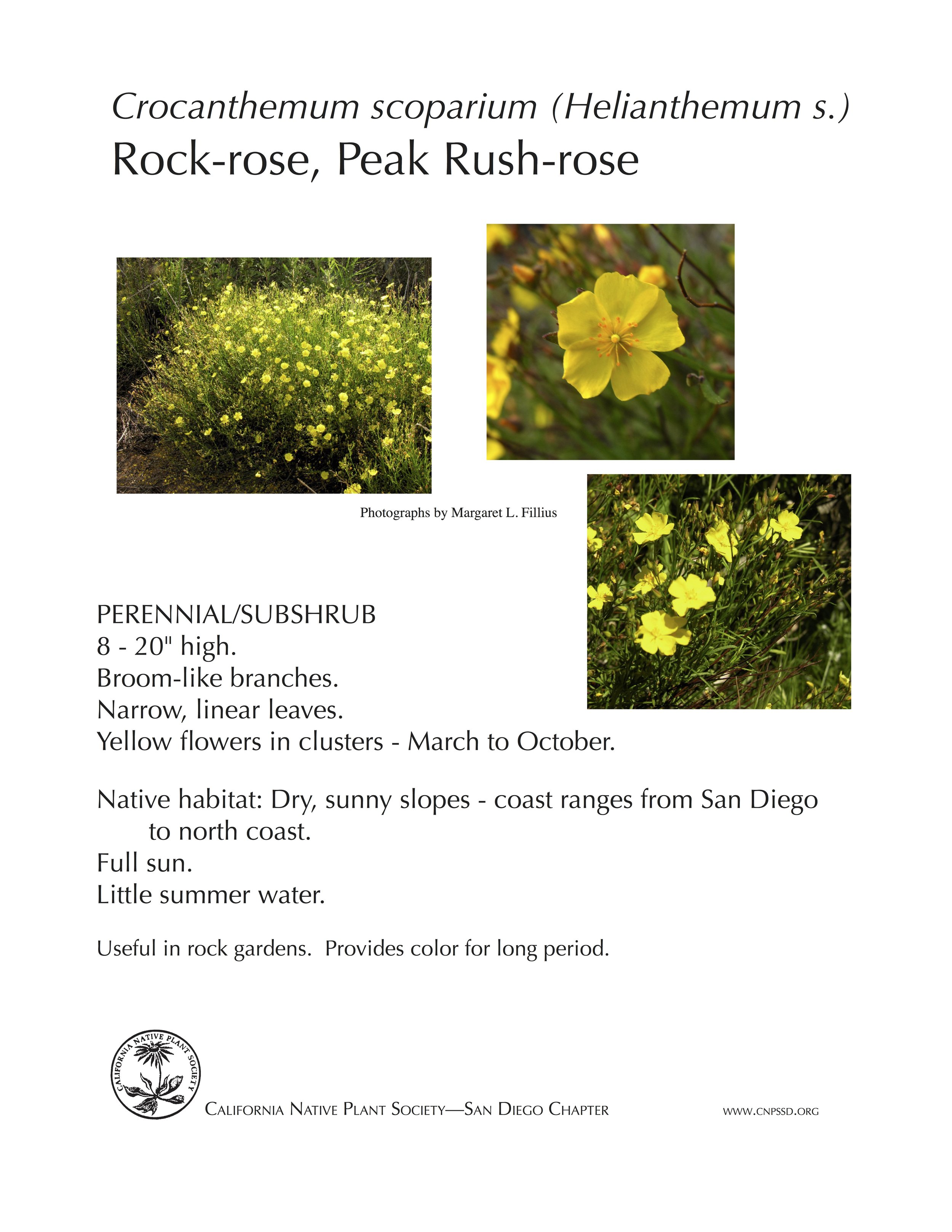 Crocanthemum scoparium Rock Rose.jpg