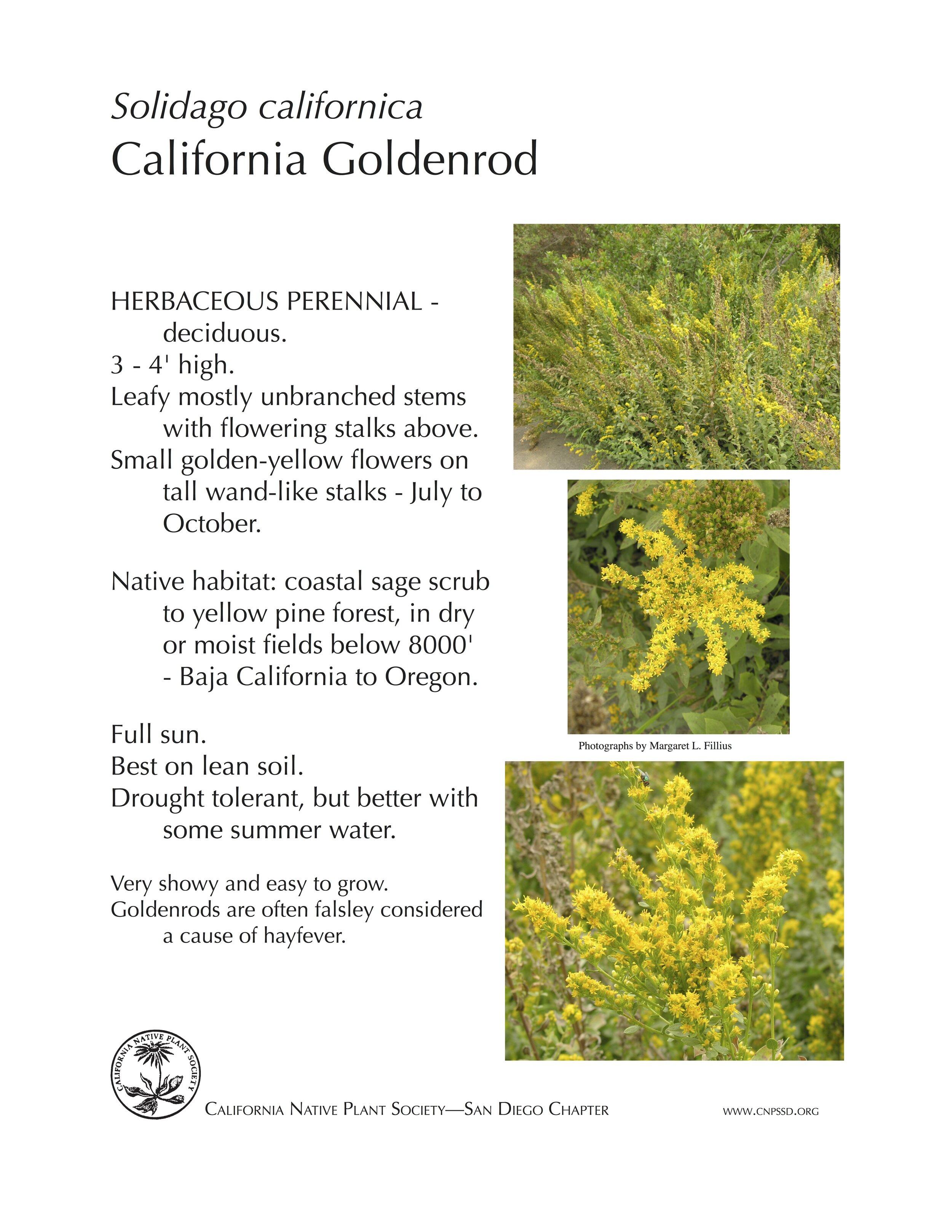 California Goldenrod (Solidago californica).jpg