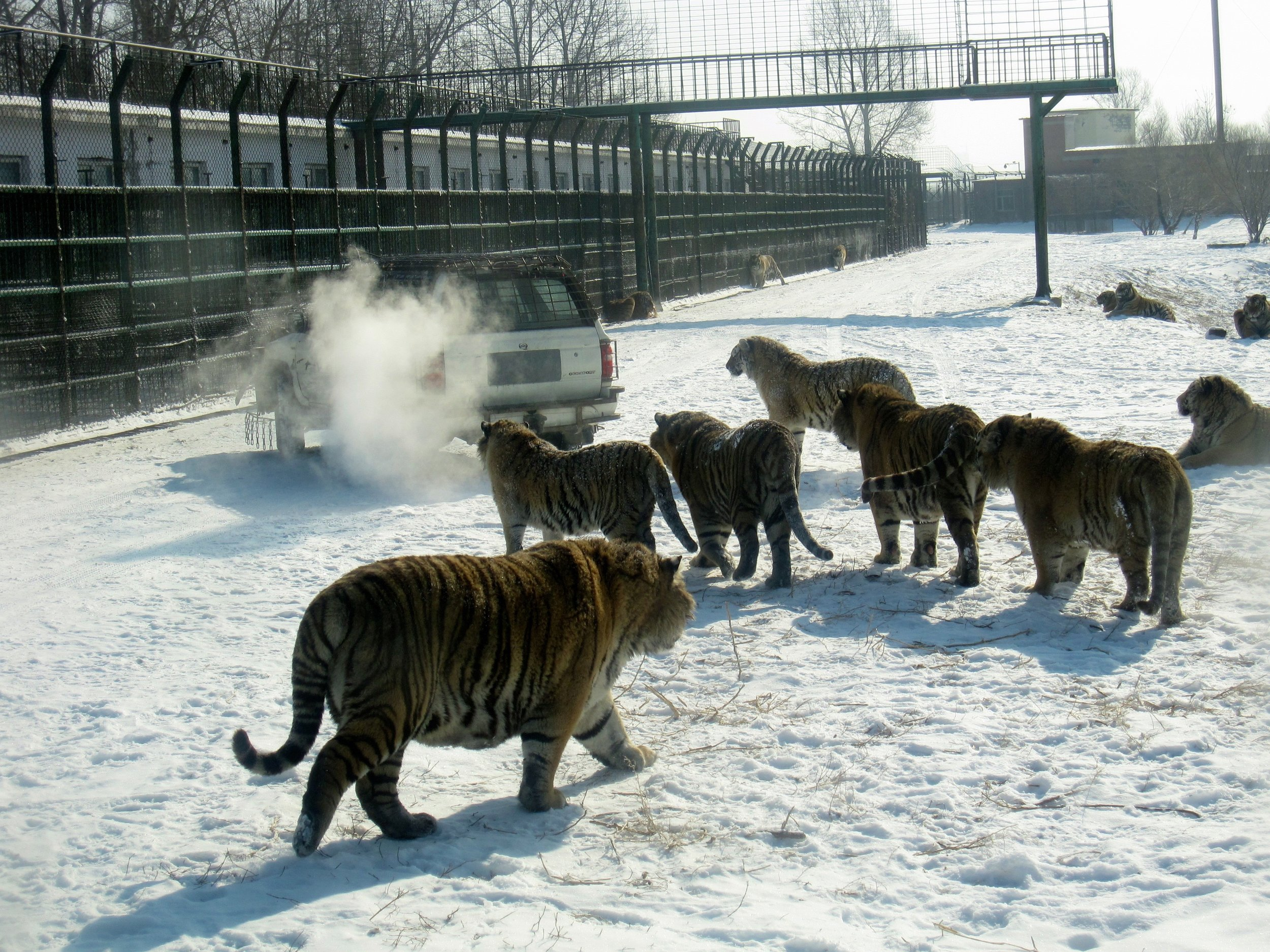 Hungry tigers at Harbin's Siberian Tiger park