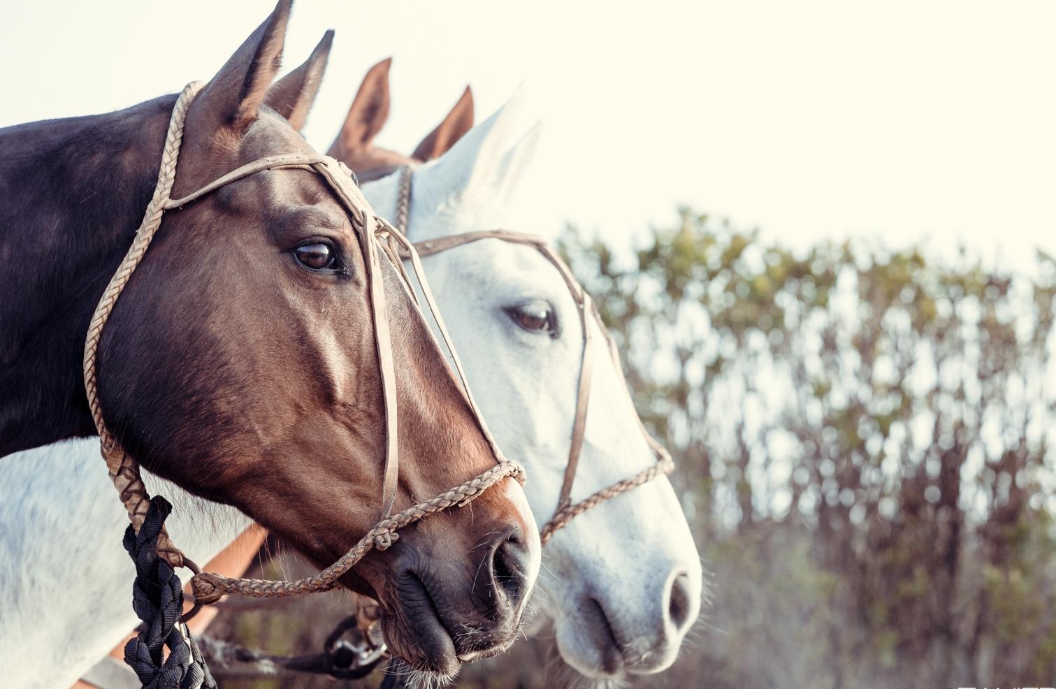 Criollos argentins les meilleurs poneys de polo  Argentine criollos the best polo ponies