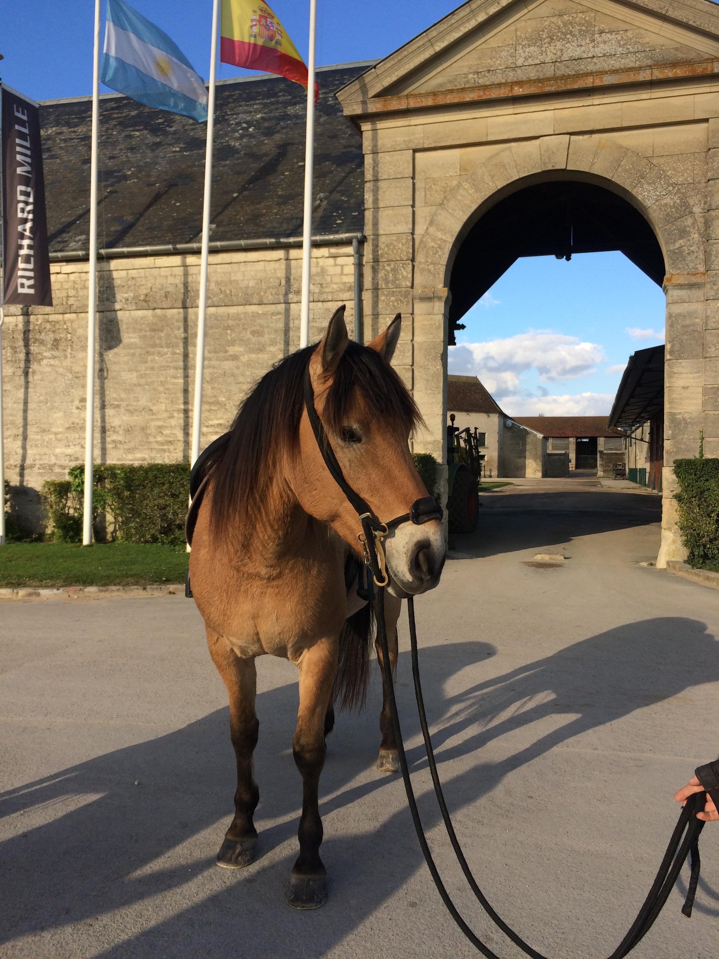 race-equipe-henson-poney-cheval-robe-isabelle-louvet-chantilly-polo-randonée-équestre-elevage-baie-de-somme